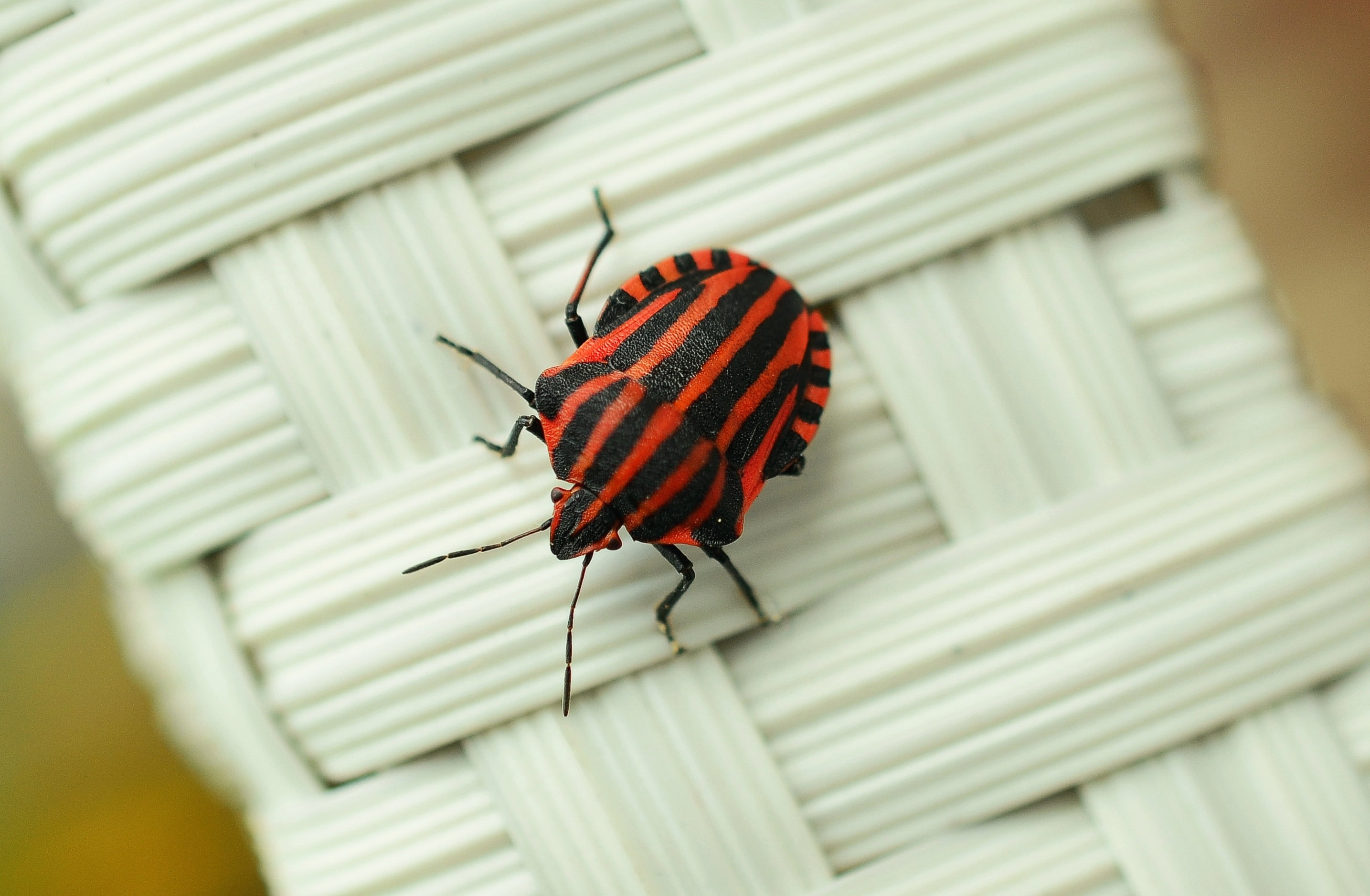 Red and black banded stink bug HD wallpapers