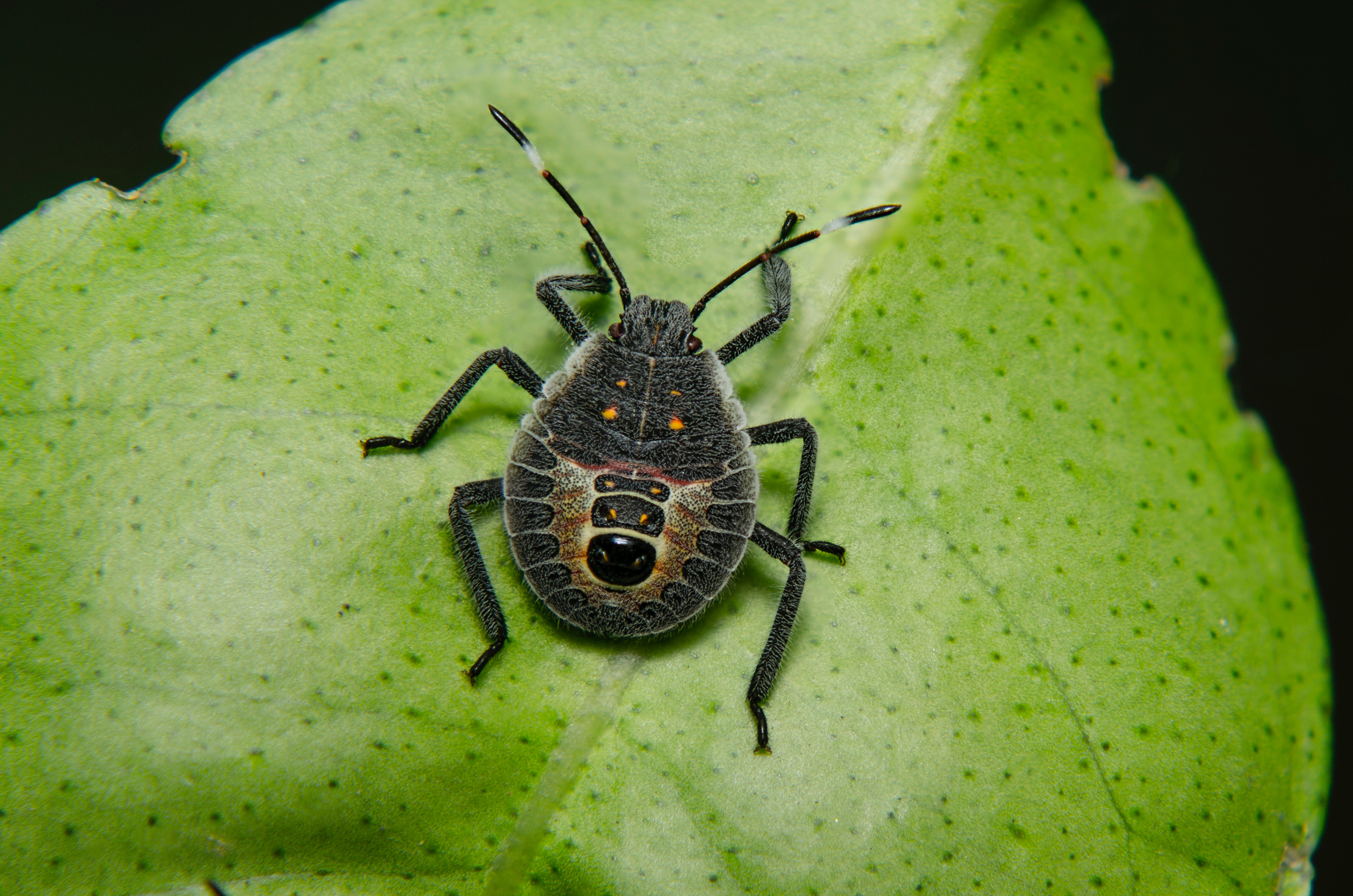 Stink Bug Pictures