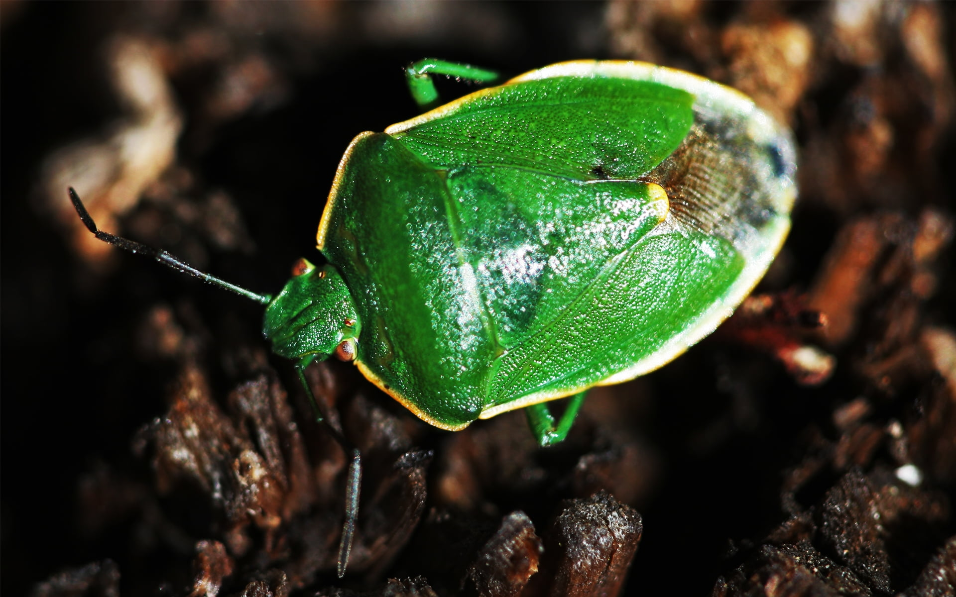 Macro photography of green stink bug HD wallpapers