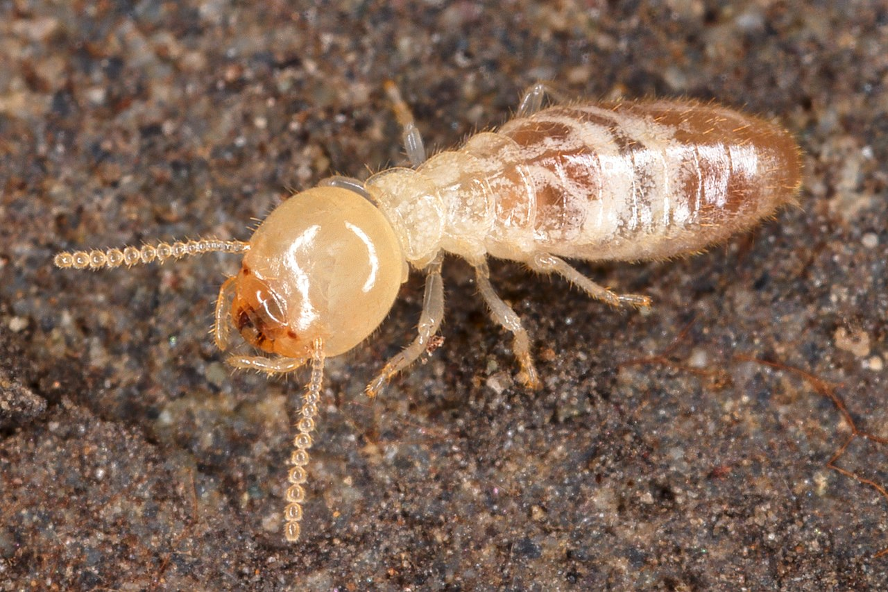 Why Do Termites Follow Ink Trails?