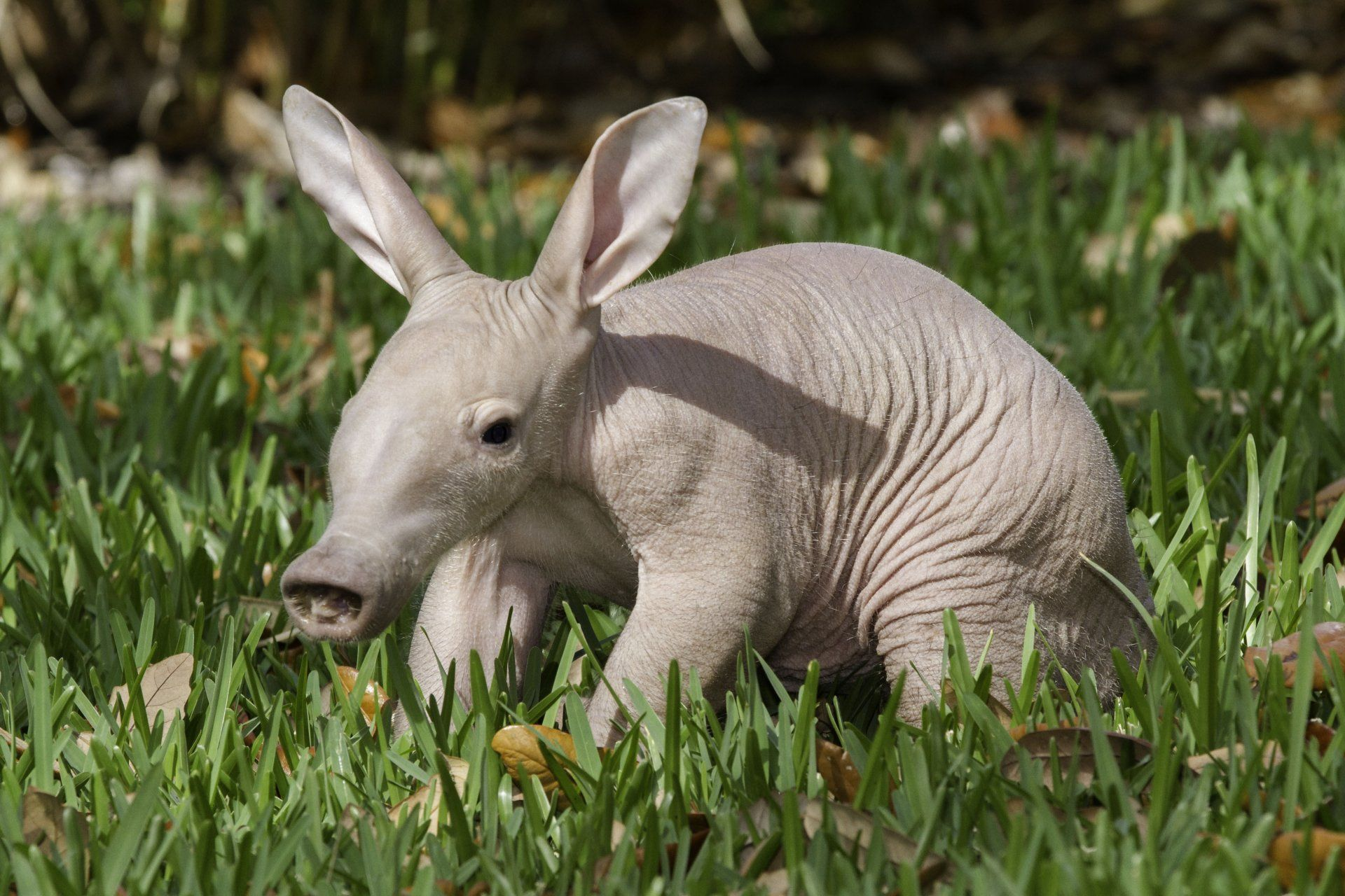Aardvark 4k Ultra HD Wallpapers and Backgrounds Image
