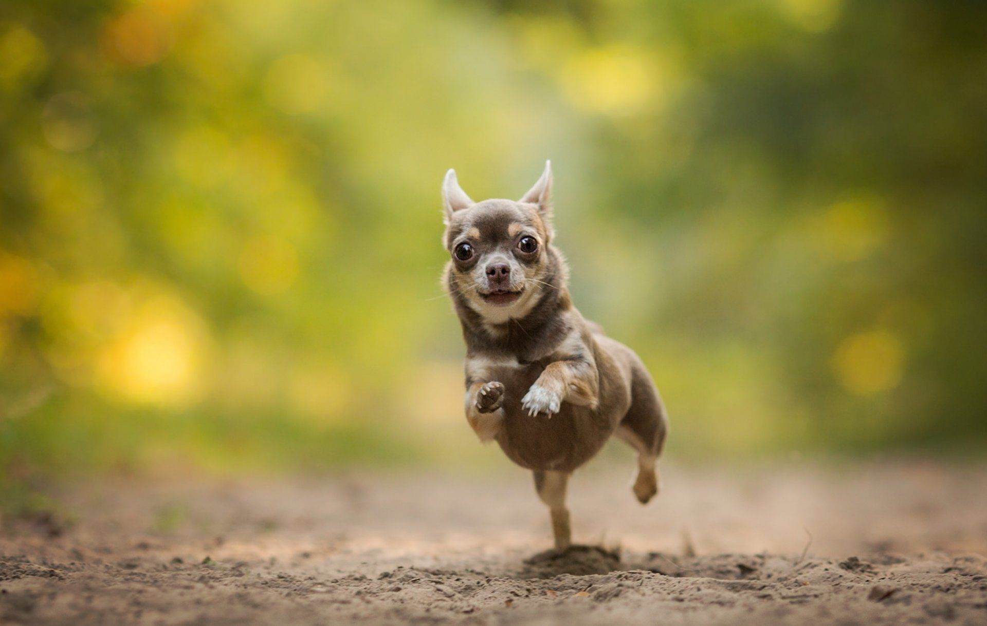 Free Chihuahua Wallpapers for Desktop
