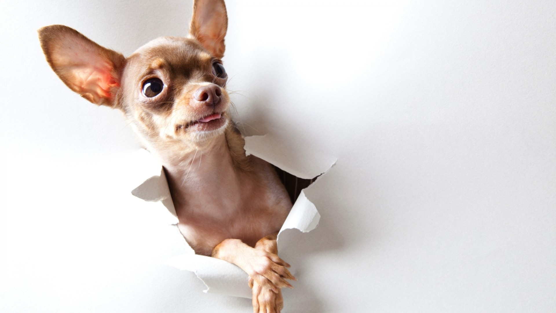 47+ Teacup Chihuahua Wallpapers