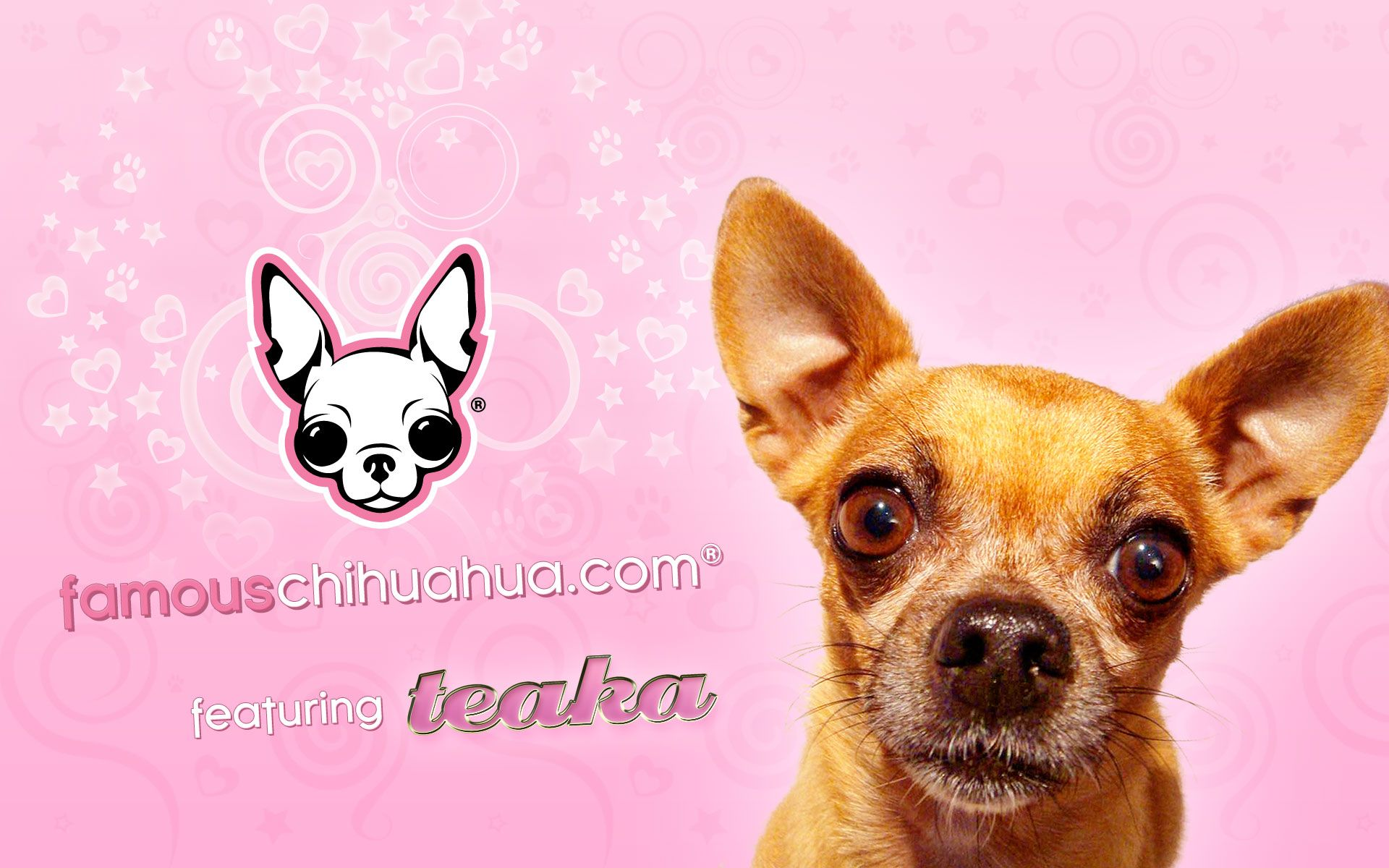 download free famous chihuahua wallpapers