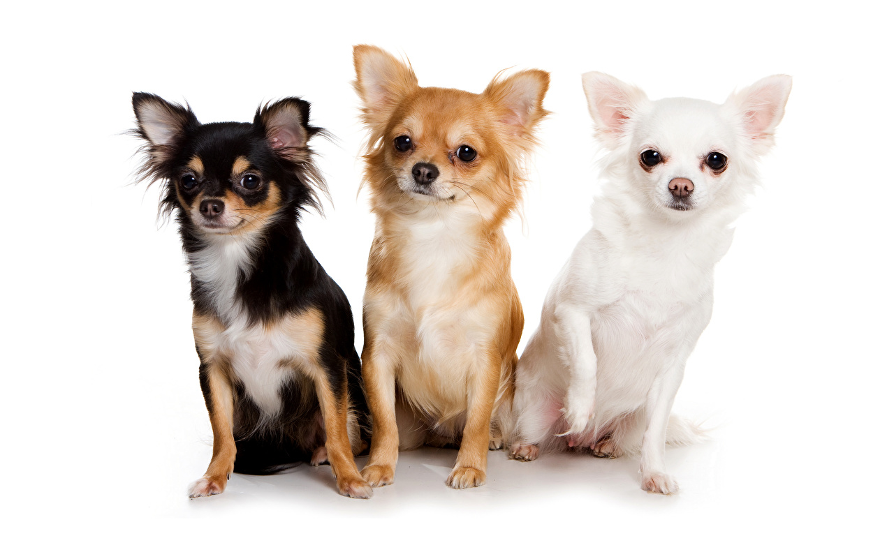 Wallpapers Chihuahua Dogs Three 3 Animals White backgrounds
