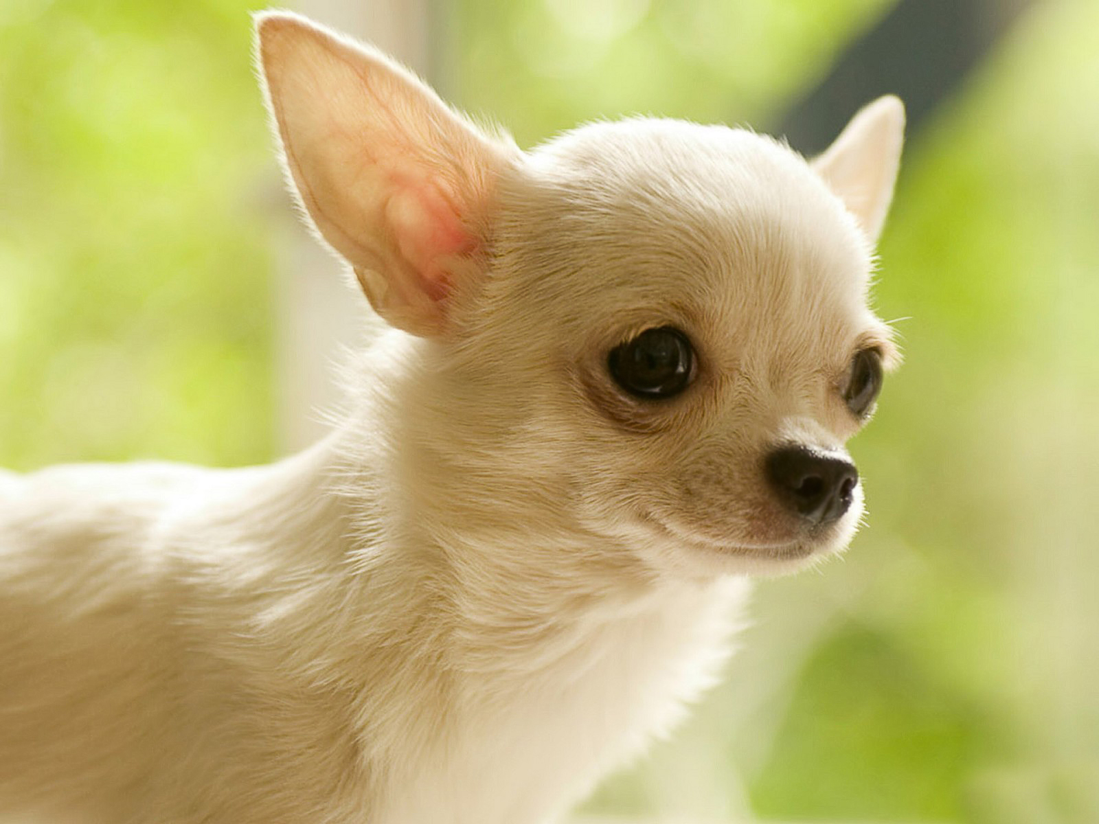 Chihuahua Wallpapers 14