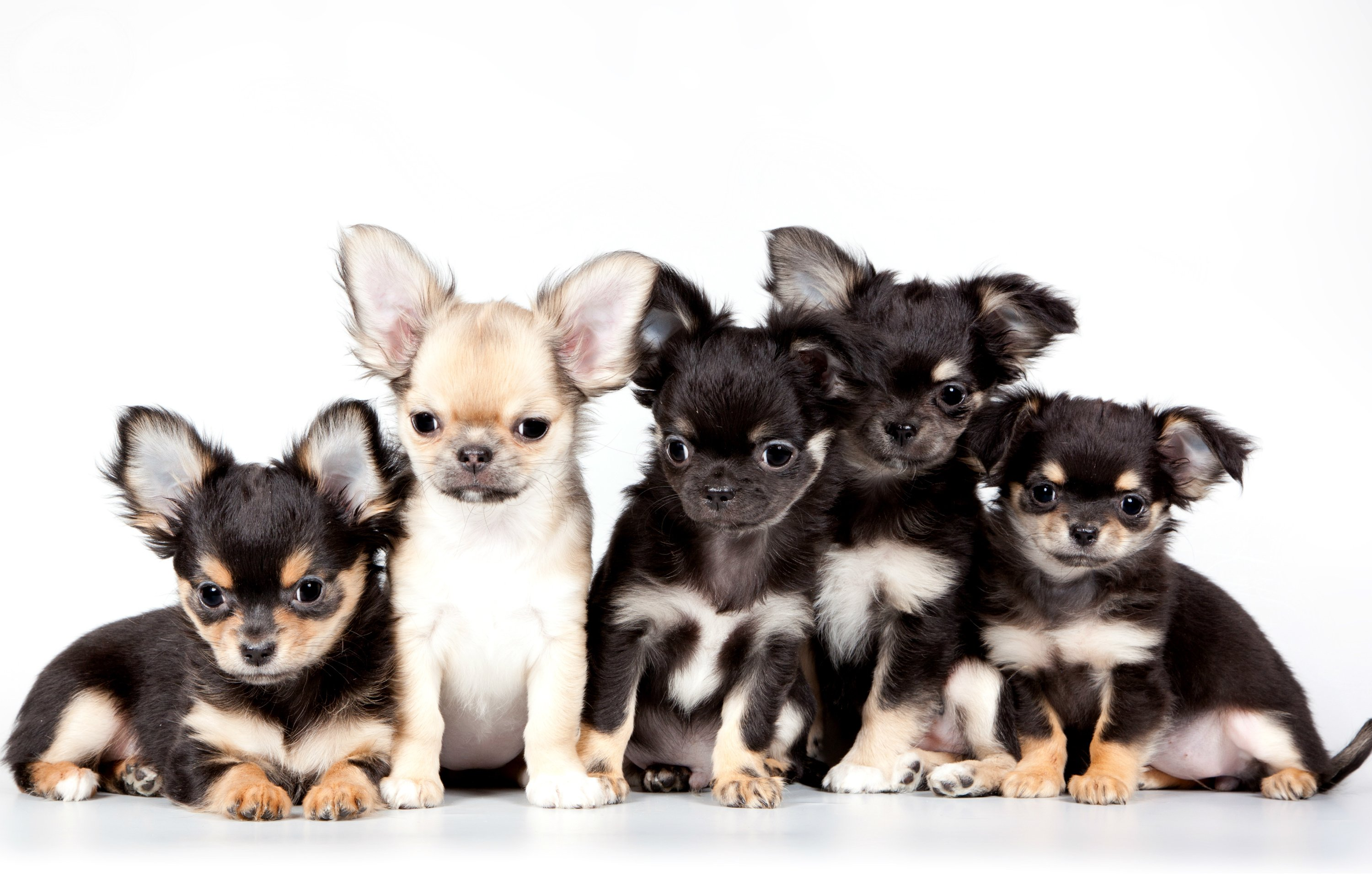 Meaningful Chihuahua Wallpaper, 1122926 by Latisha Creek