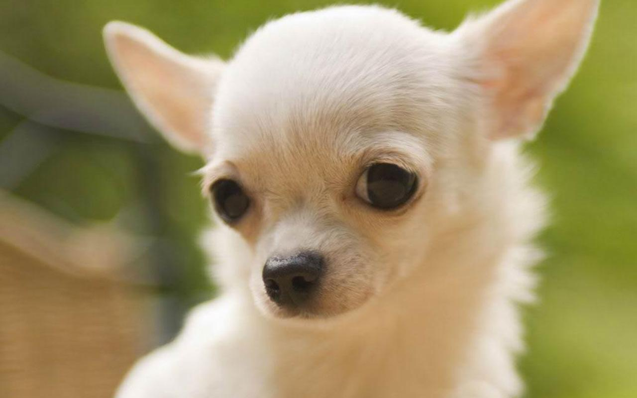 Teddybear64 image Chihuahua HD wallpapers and backgrounds photos