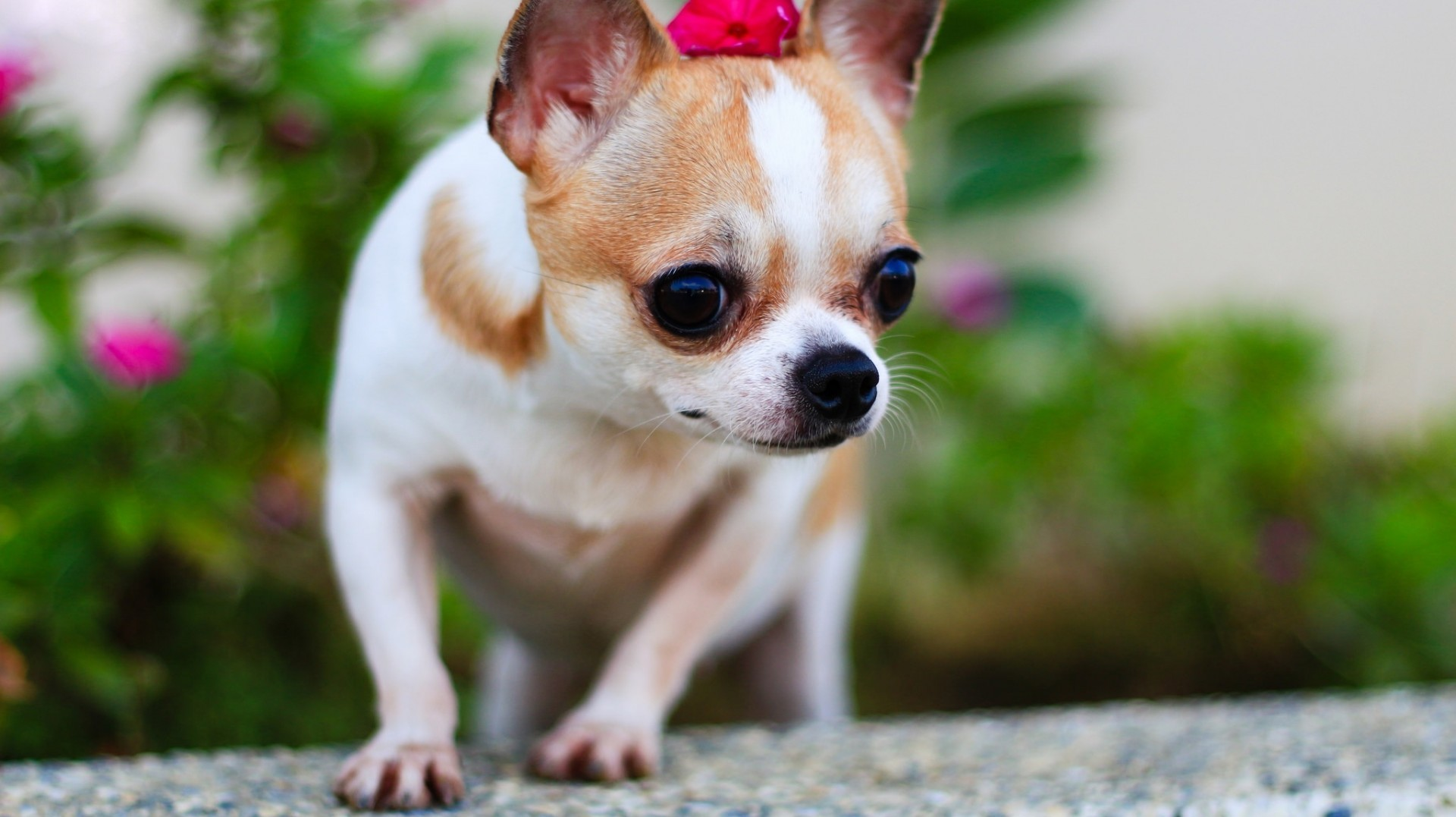 Download 1920x1077 Chihuahua, Small Dogs, Blur Wallpapers