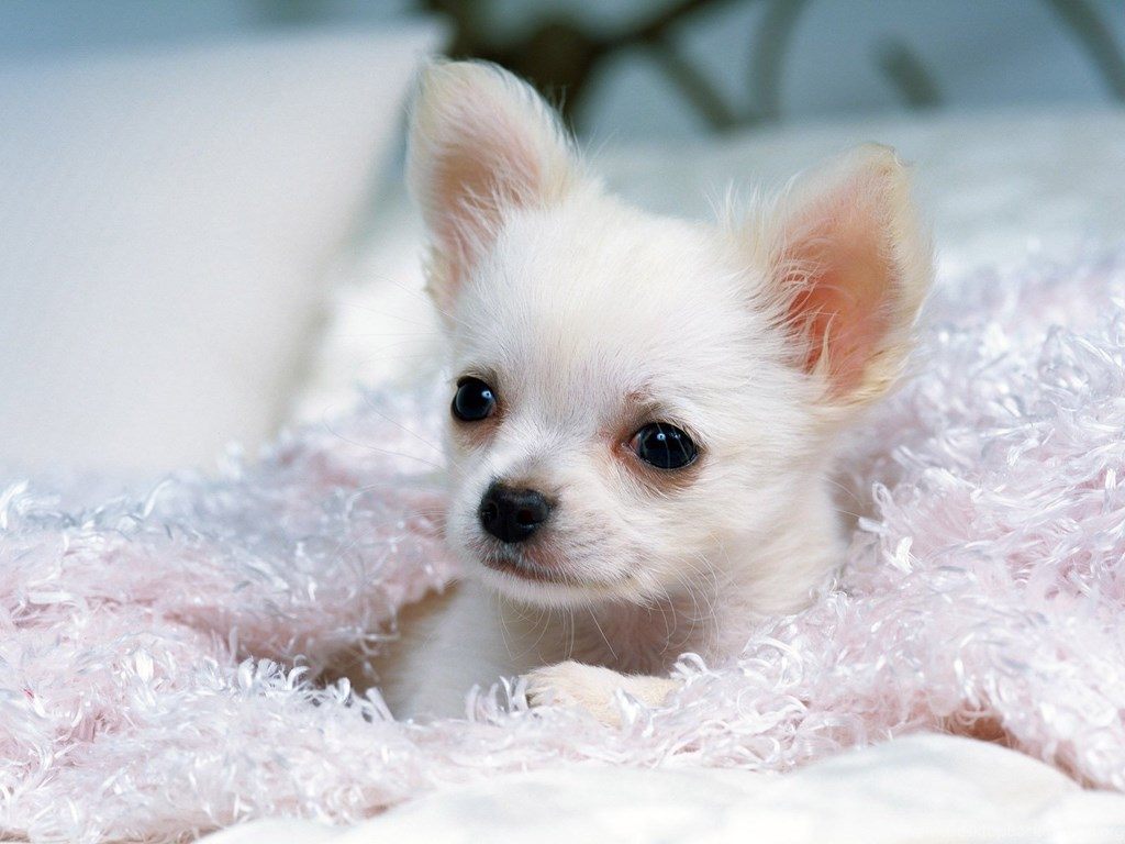 Chihuahua Wallpapers For Ipad 26 Free Wallpapers ... Desktop Backgrounds