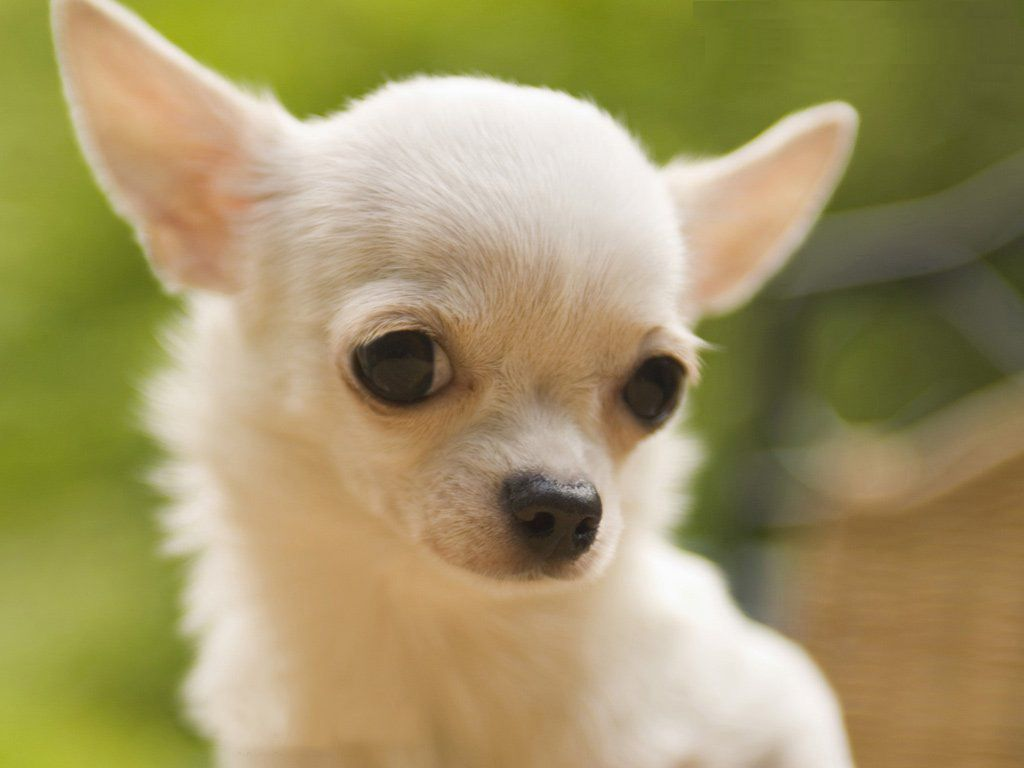Chihuahua Wallpapers Group