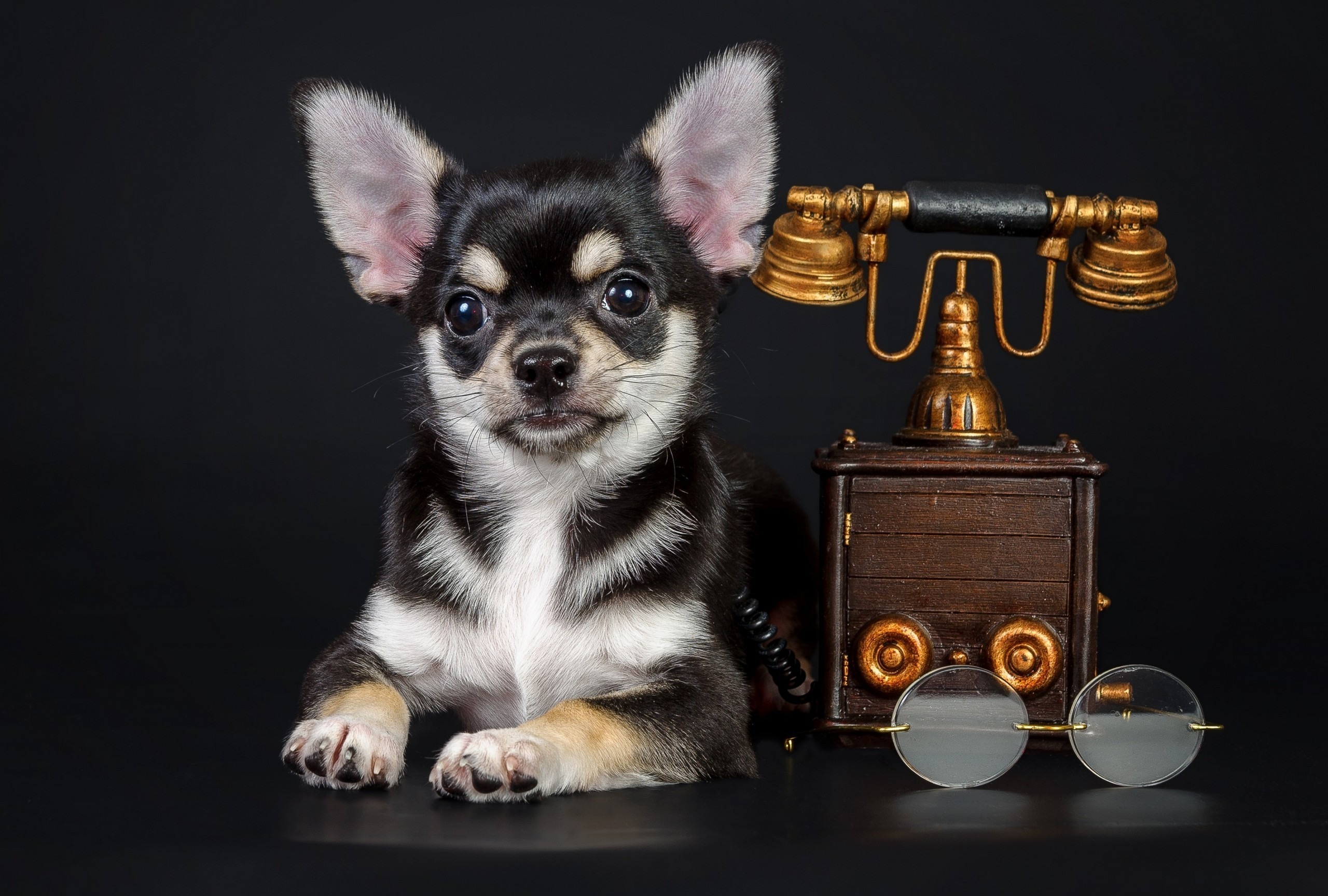 File: Chihuahua Wallpapers