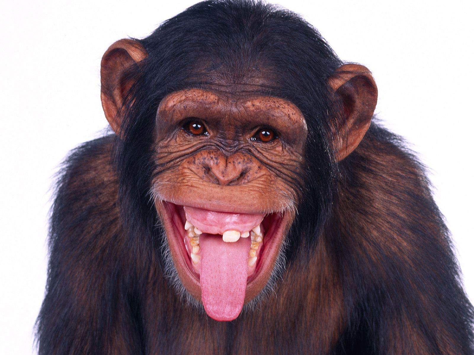 Chimpanzee Wallpapers and backgrounds