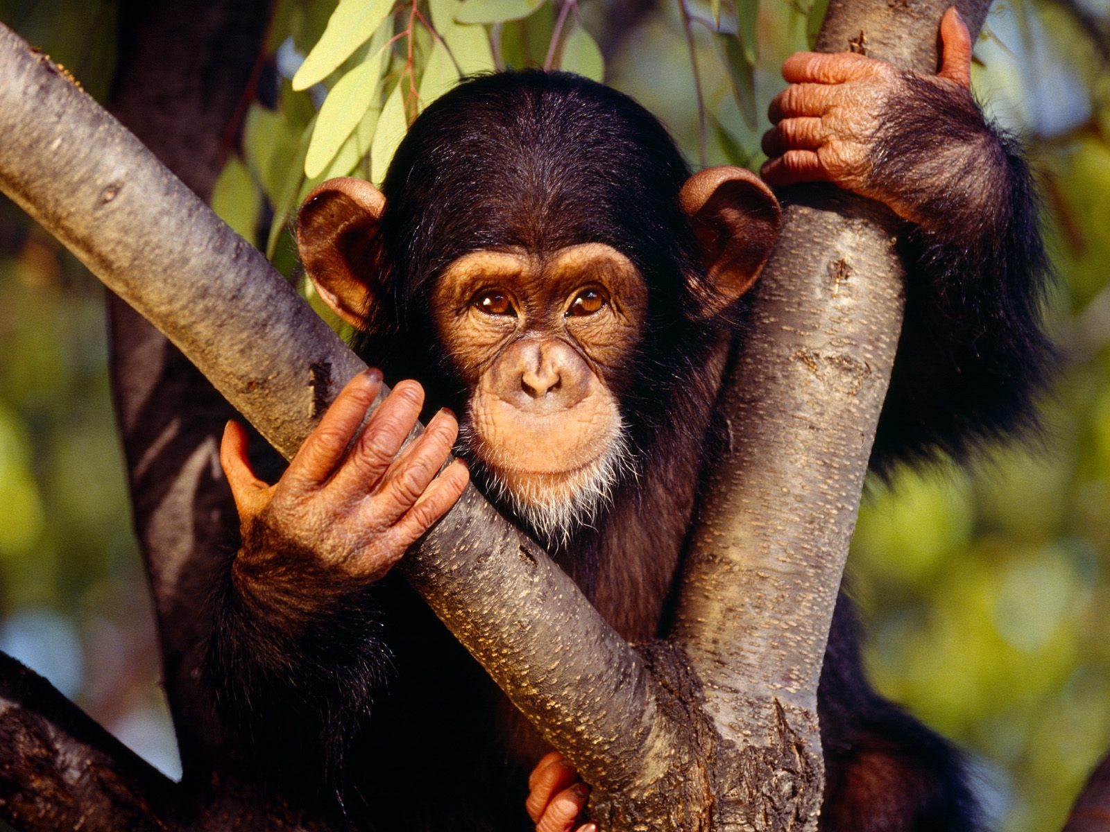 Chimpanzee Wallpapers and Backgrounds Image