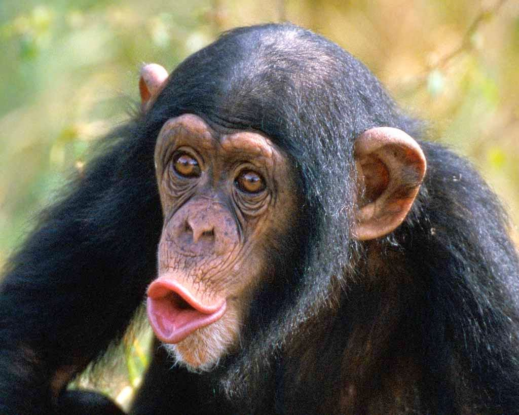 Animals World: wallpapers of animal chimpanzee face gallery