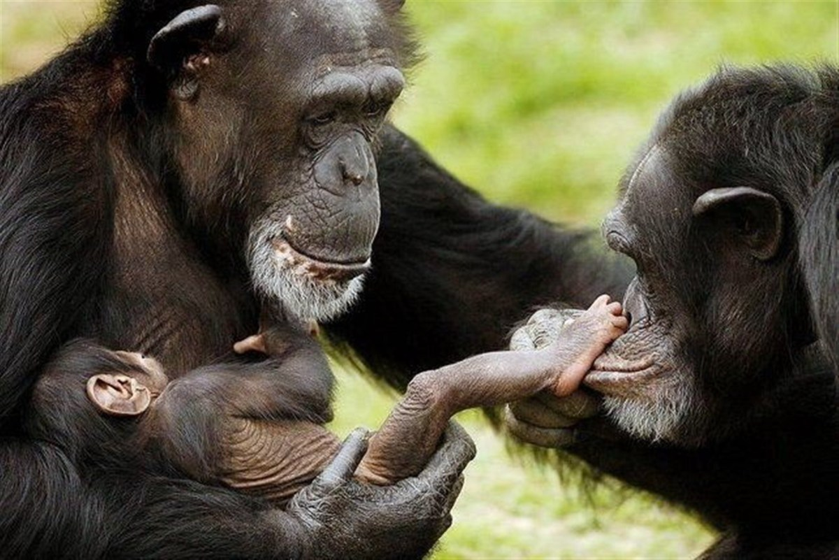 Baby chimpanzee wallpapers