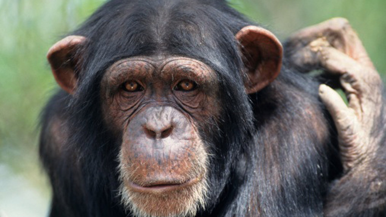 Download】99 Chimpanzee 4K High Quality Pictures & Wallpapers 2018