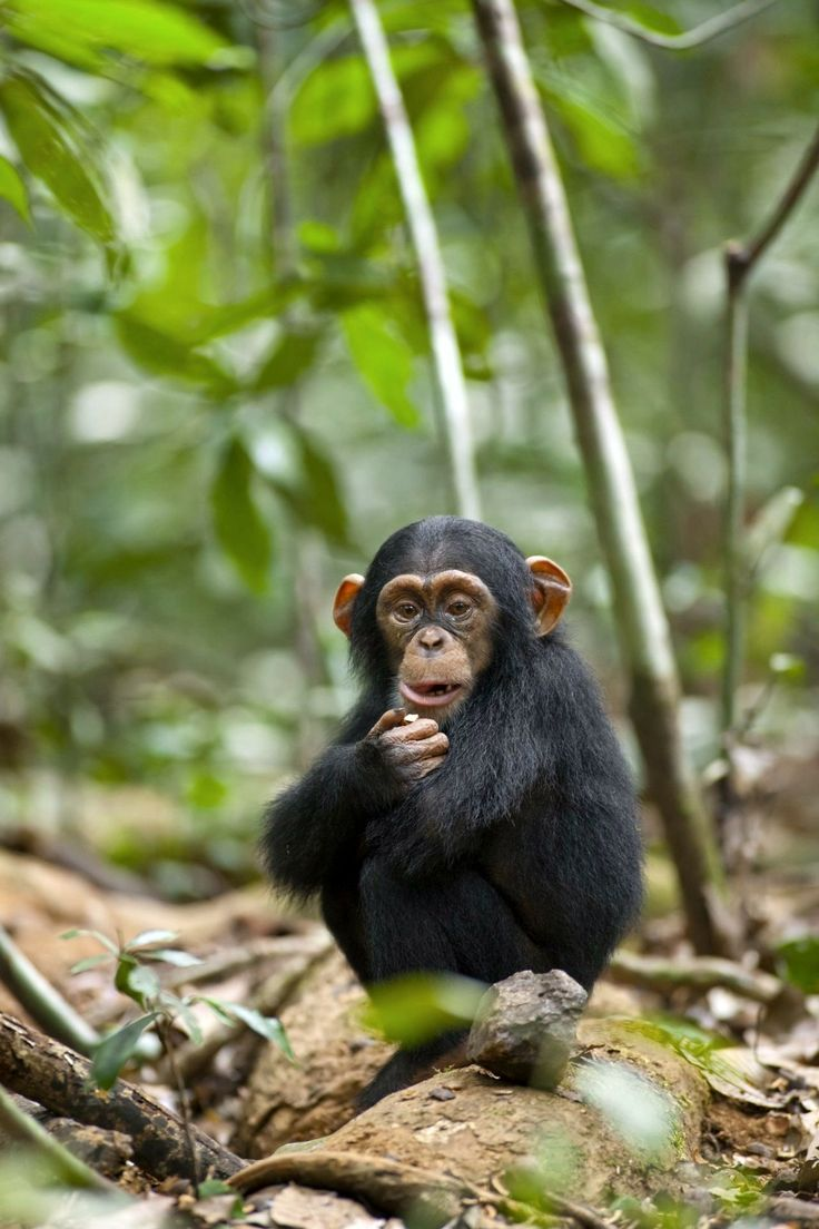 Group of Chimpanzee Modeling Wallpapers For