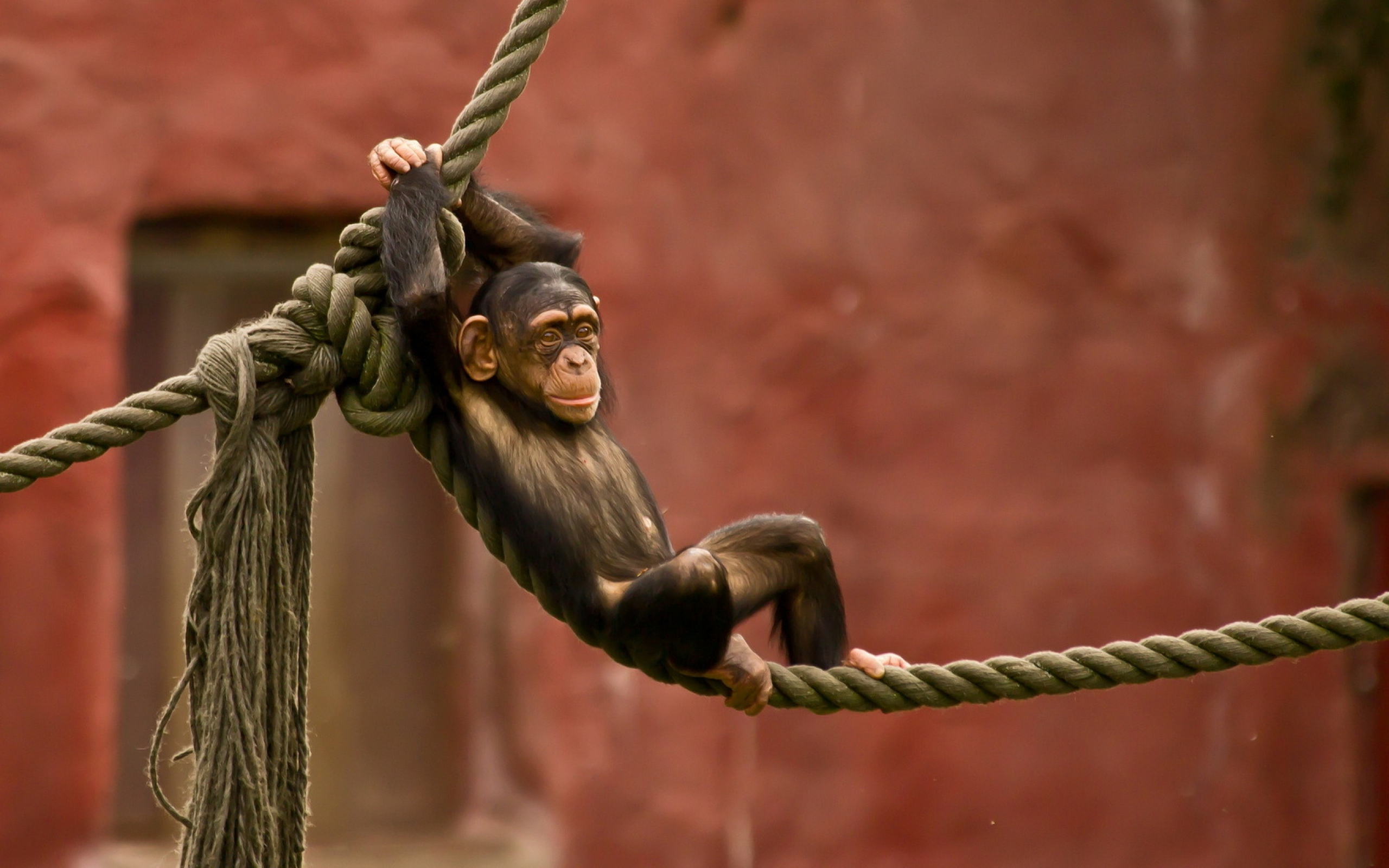 Chimpanzee Chilling On A Rope Wallpapers