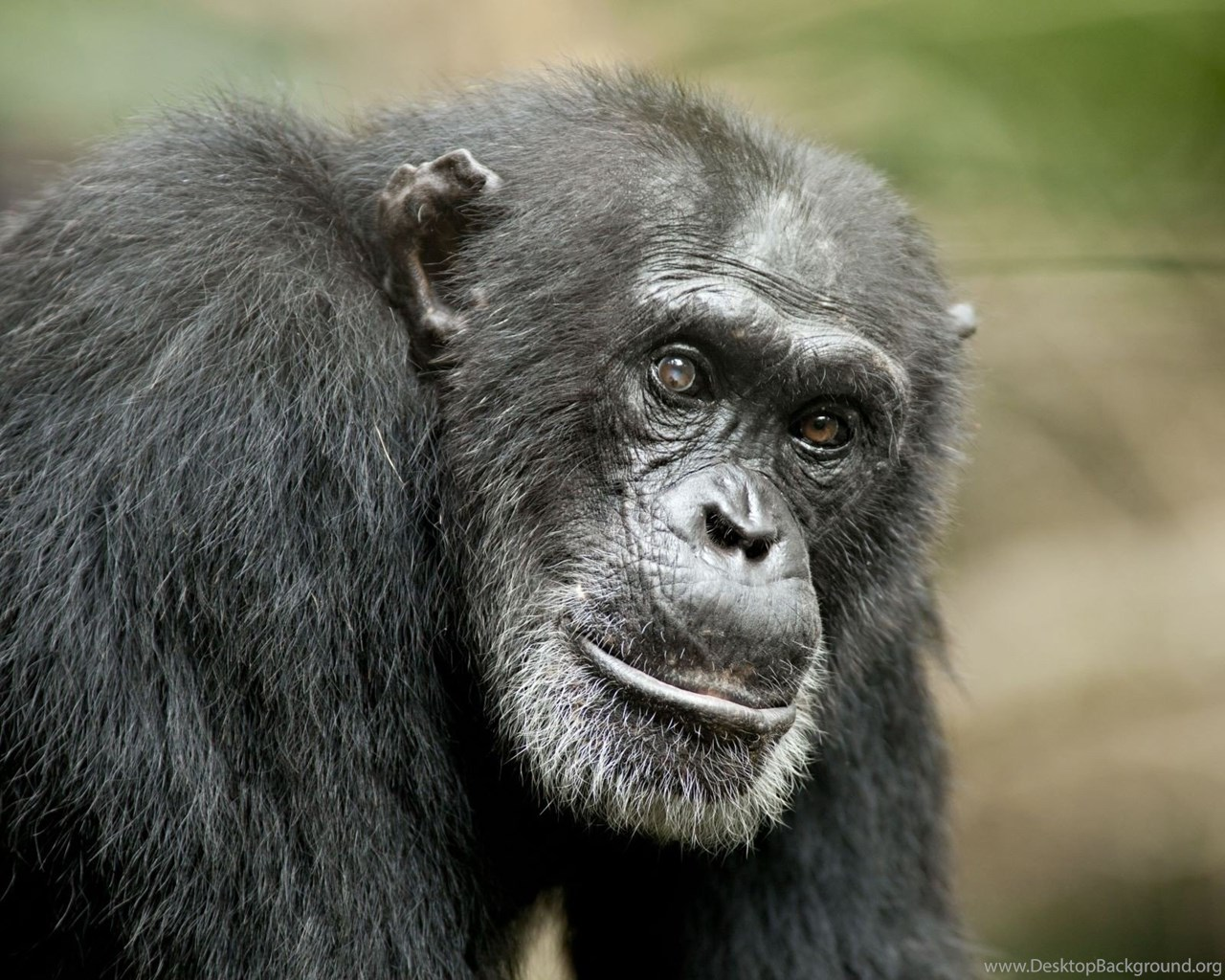 Picture Of Chimpanzee Cool Wallpapers Desktop Backgrounds