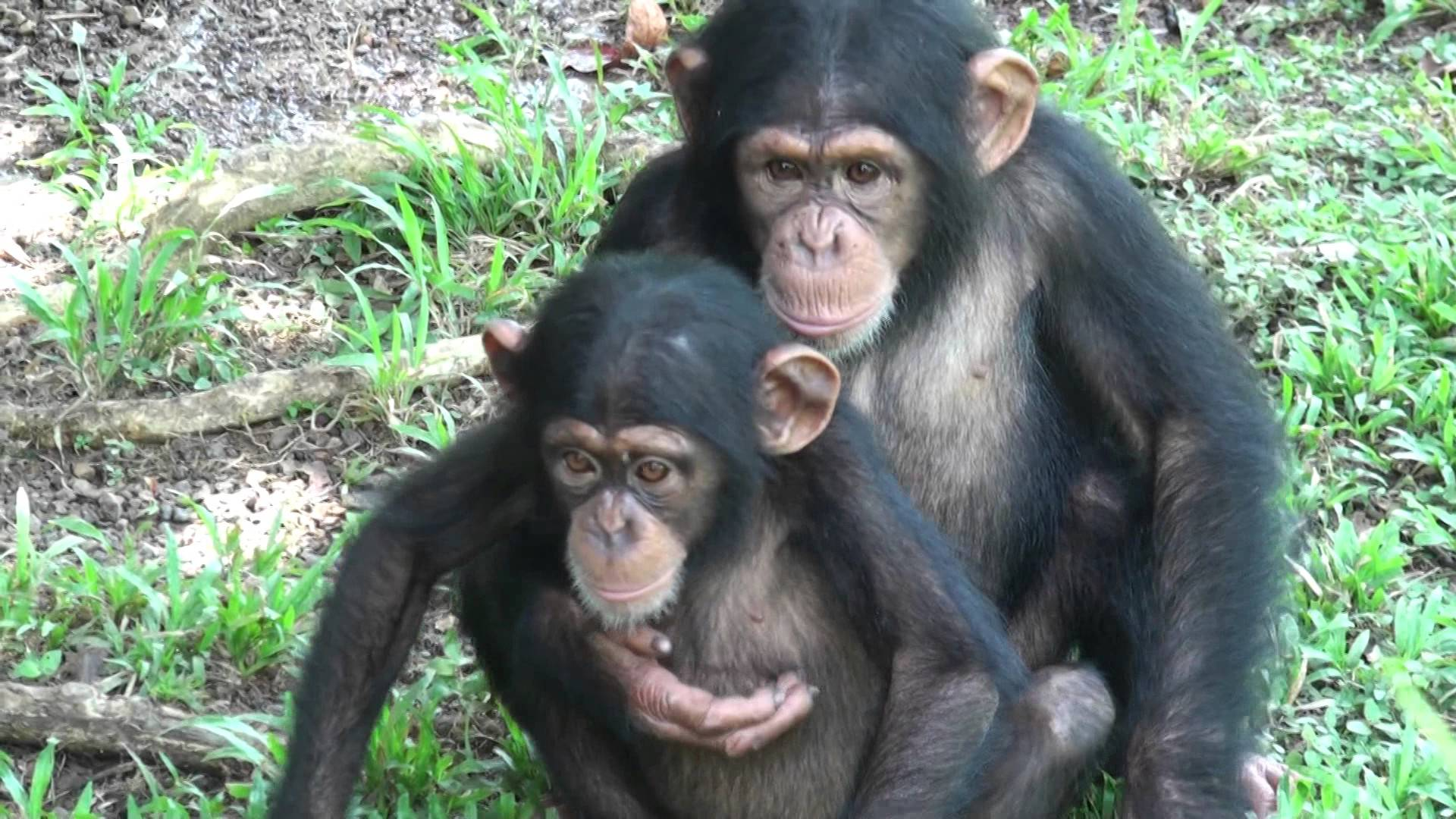 Baby Chimps in Love