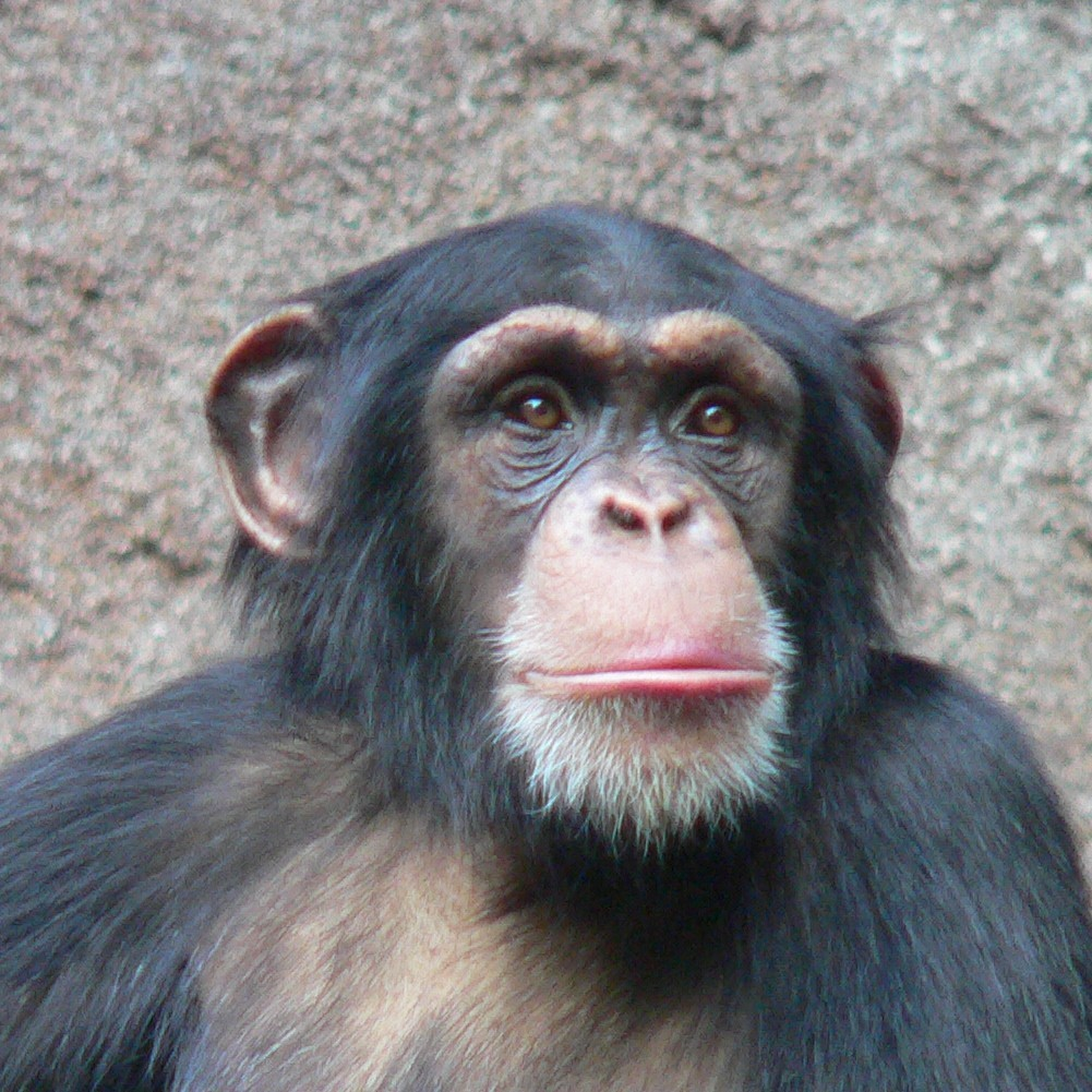 Animals image chimpanzee HD wallpapers and backgrounds photos