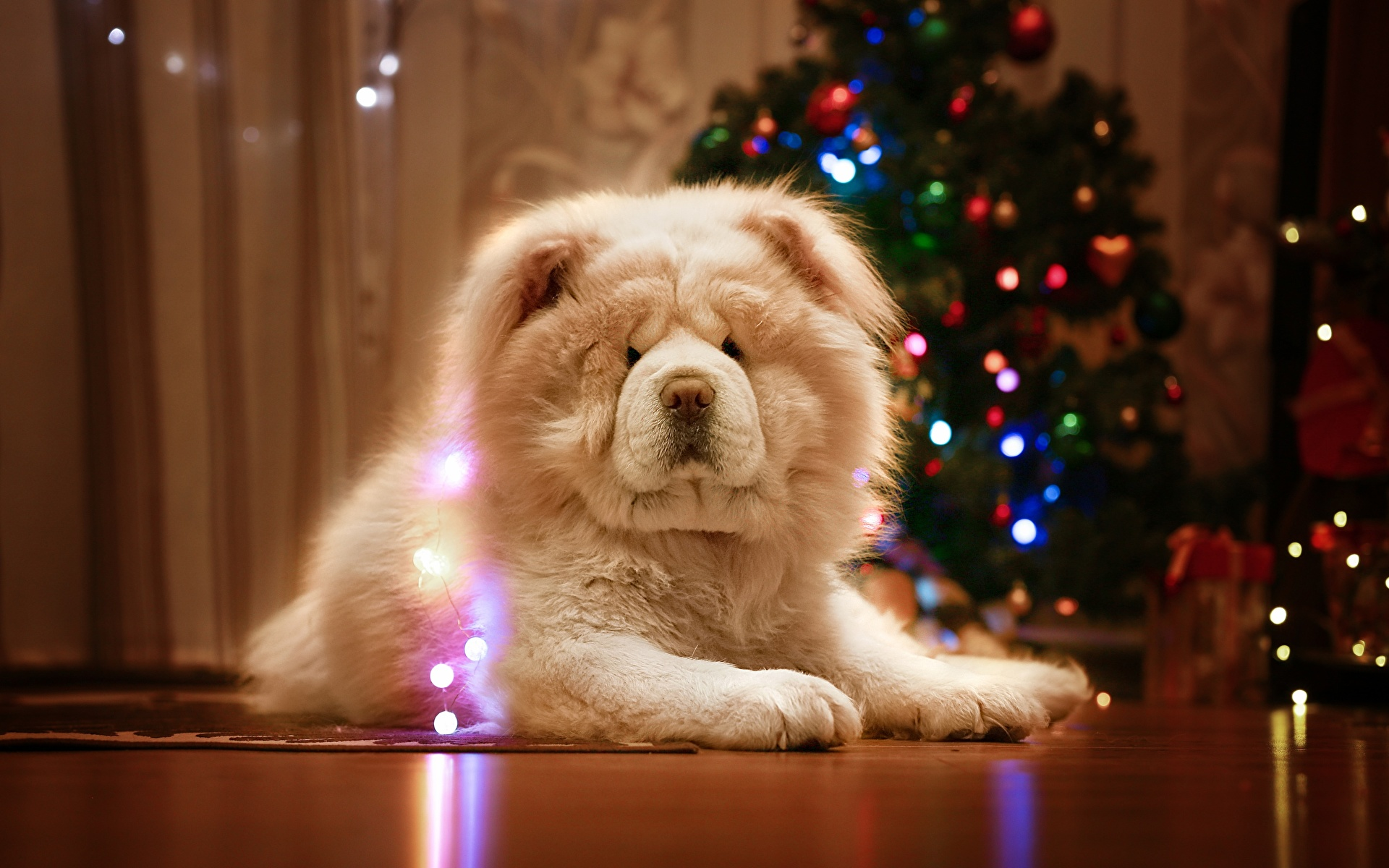 Image Chow Chow Dogs Christmas White Animals 1920x1200