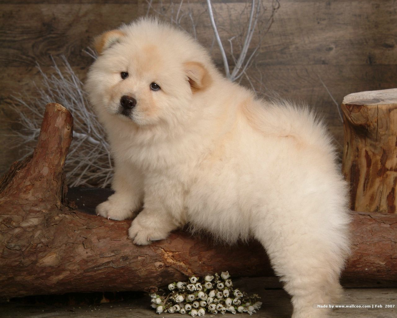 Chow Chow Wallpapers 5
