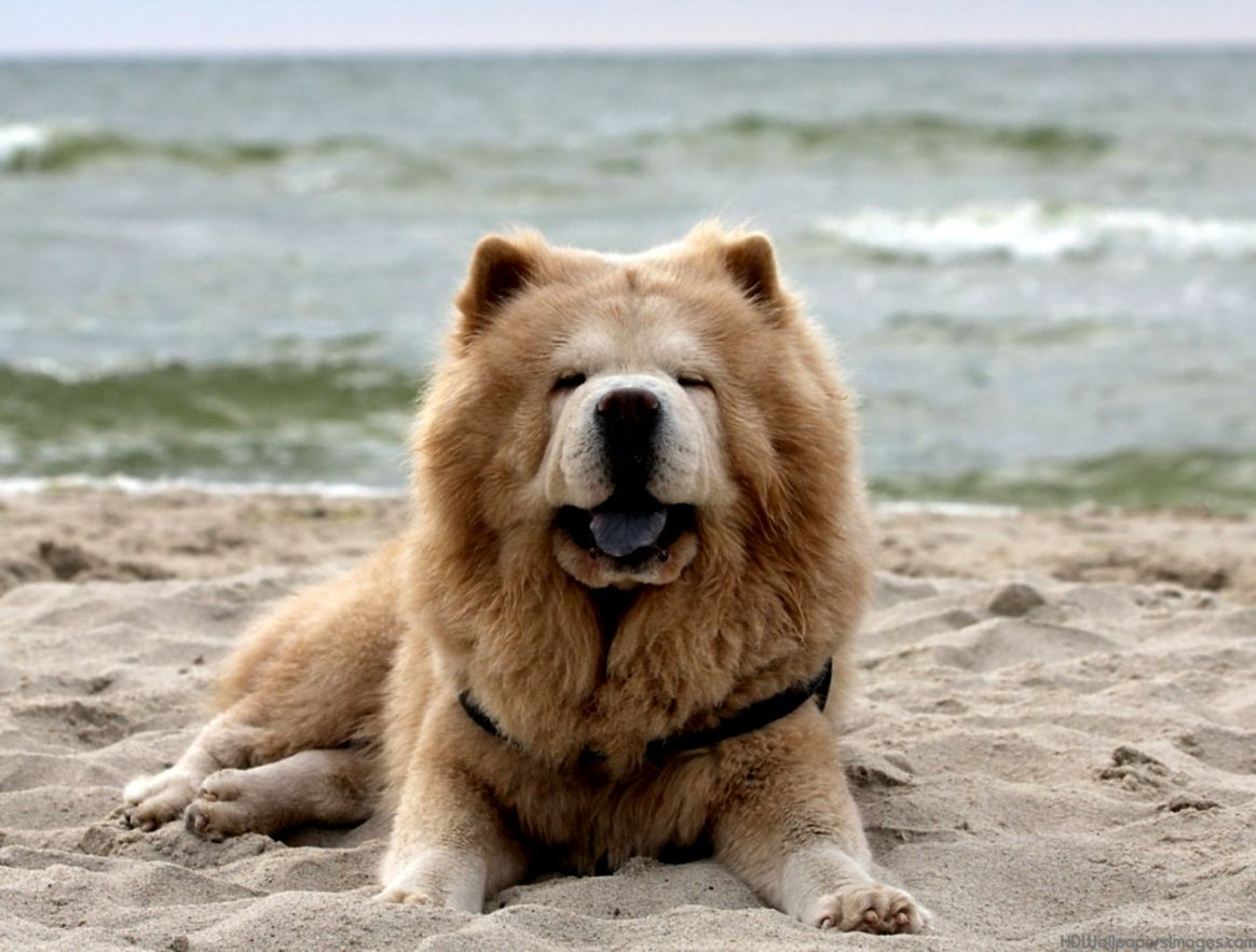Chow Chow Puppies Widescreen Wallpapers Of High Resolution Free Dog