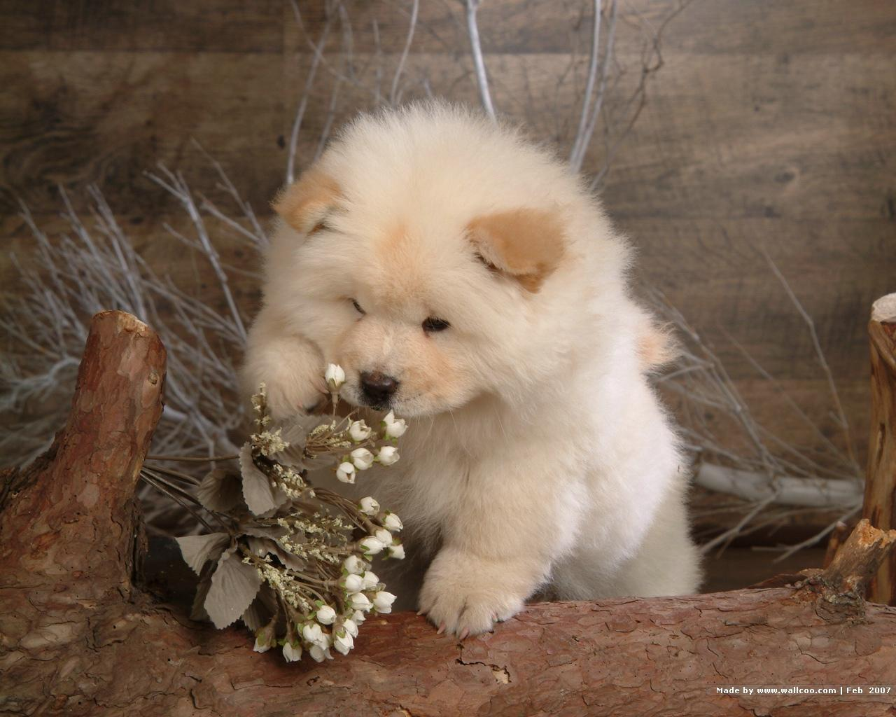 Puppies image Chow Chow Puppy Wallpapers HD wallpapers and backgrounds