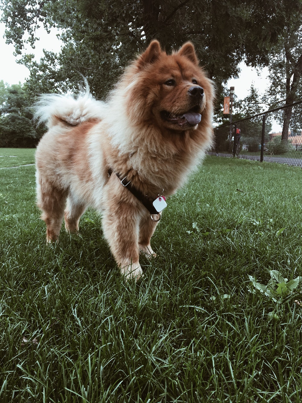 500+ Chow Chow Pictures [HD]