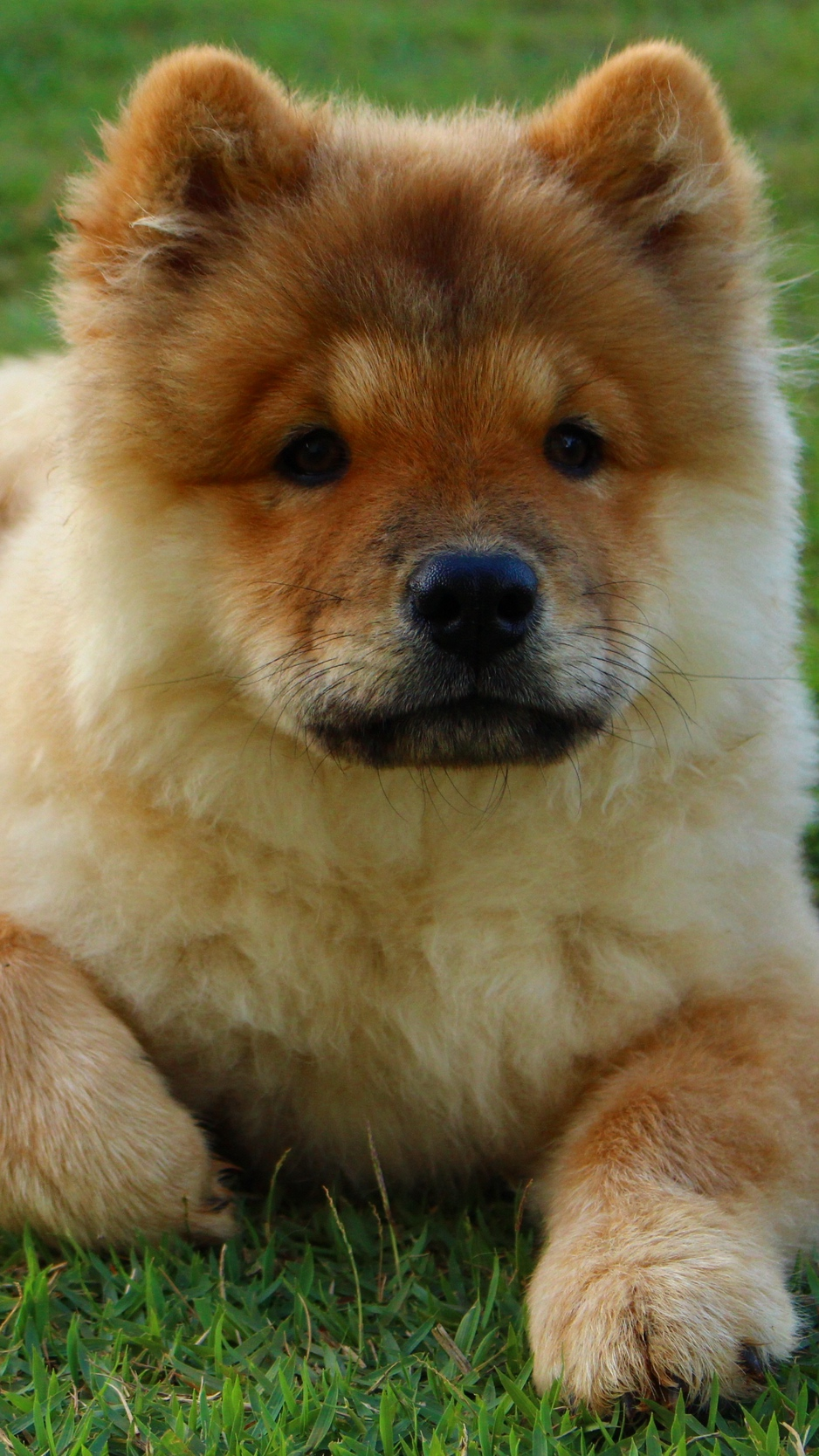 Download wallpapers 938x1668 chow chow, dog, puppy, lying iphone 8/7