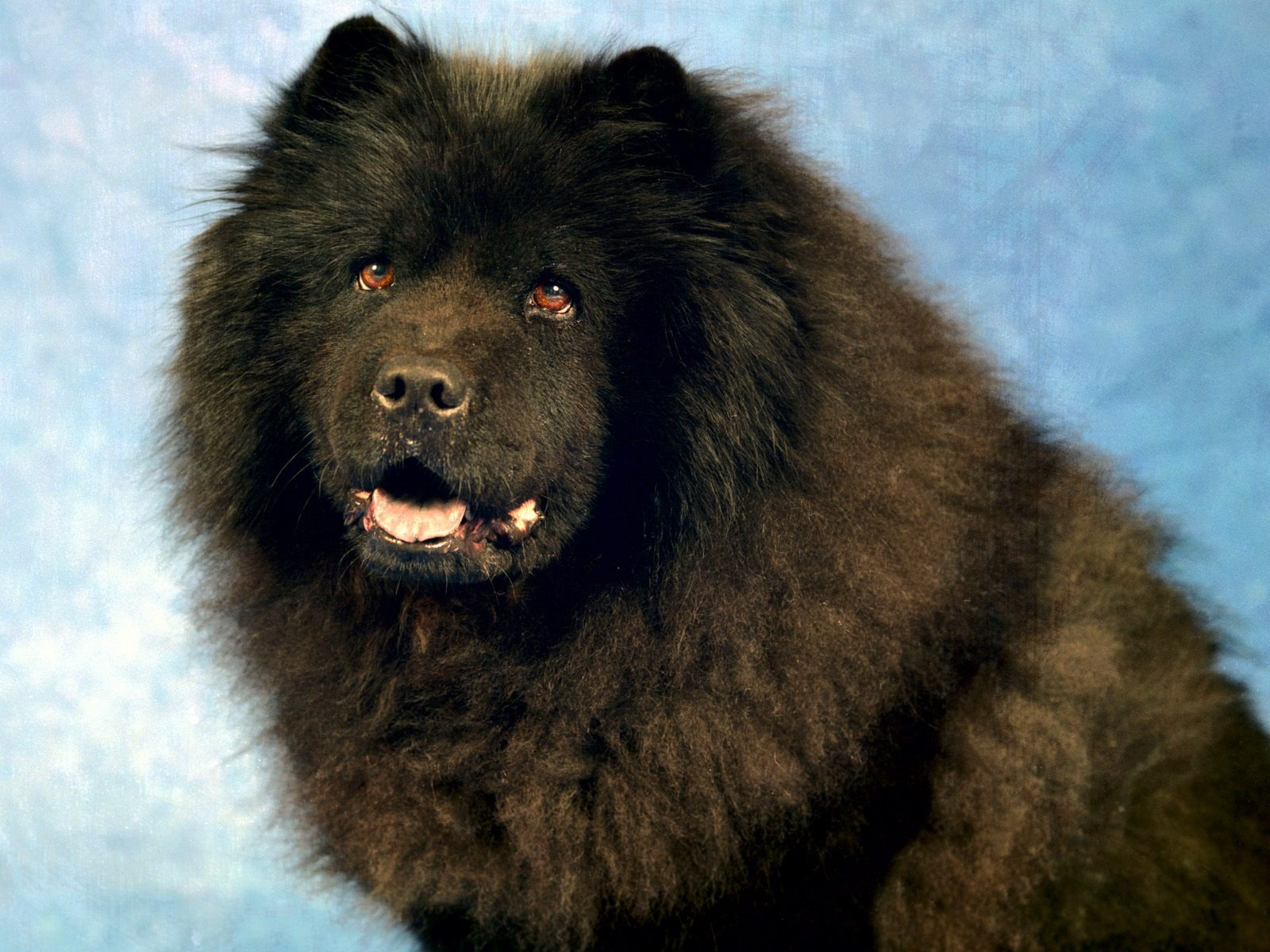 Black Chow Chow Wallpapers Dogs Animals Wallpapers in jpg format for