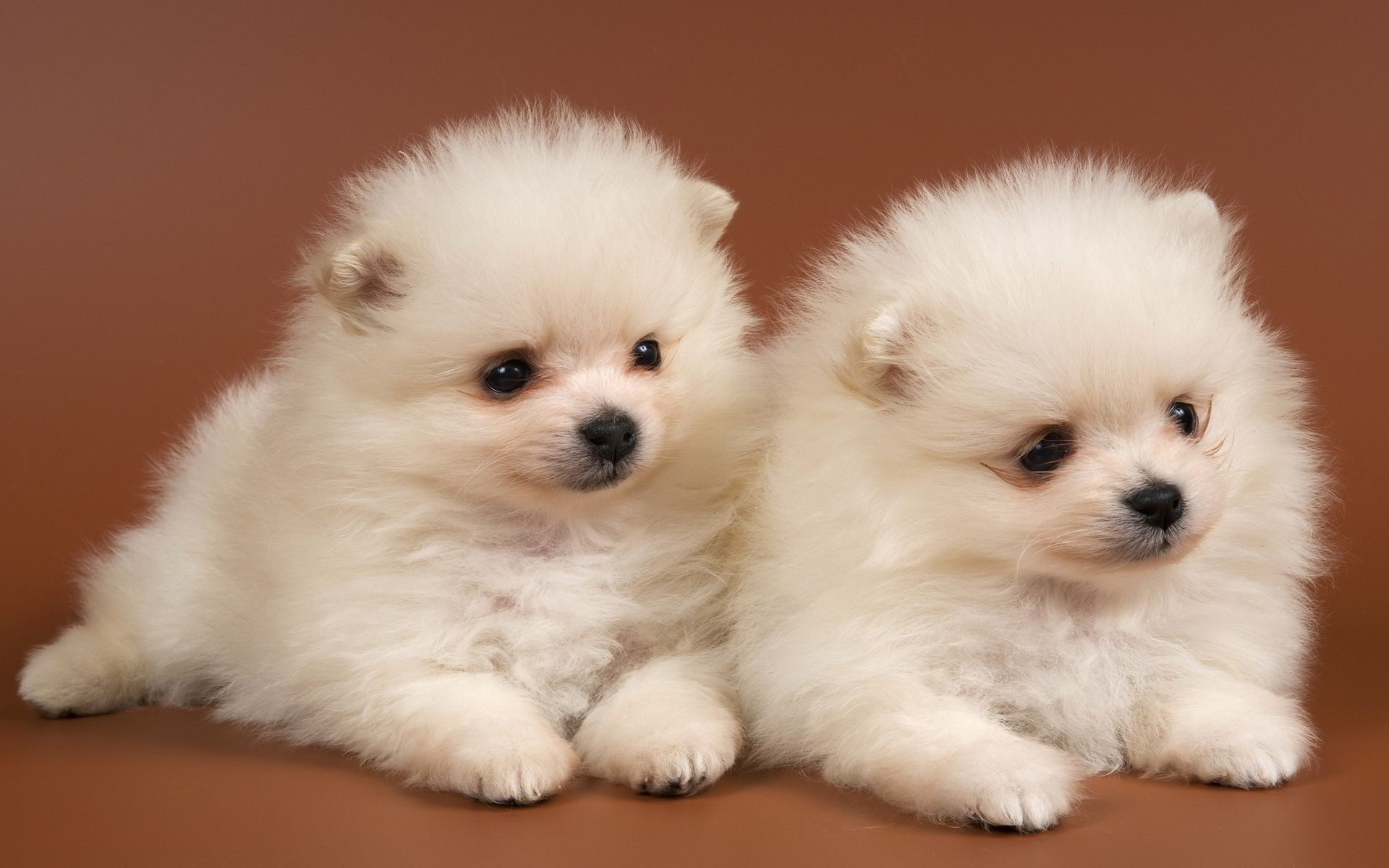 Fluffy puppies Chow Chow snow white . Android wallpapers for free