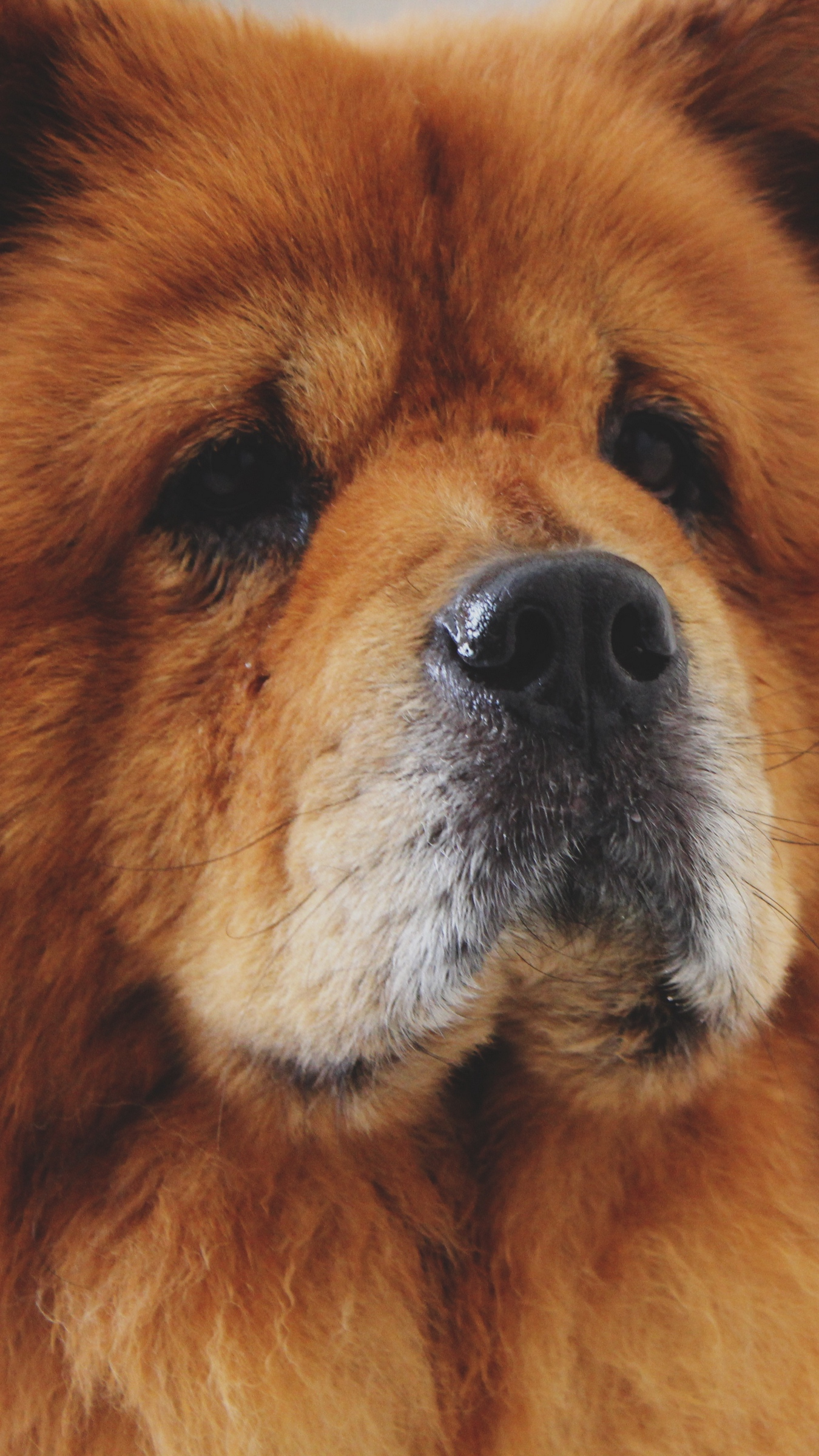 Download wallpapers 1350x2400 chow chow, dog, muzzle iphone 8+/7+/6s+