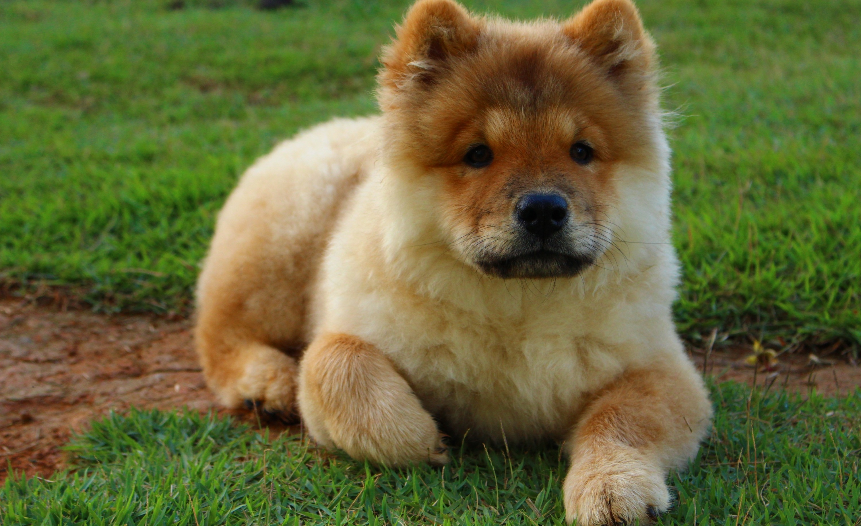 Download 3000x1834 Puppy, Sitting, Grass, Chow Chow, Fluffy, Dogs