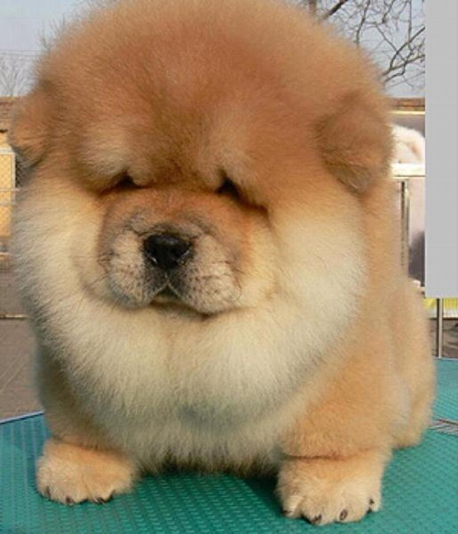 31 Most Beautiful Chow Chow Dog Pictures And Image