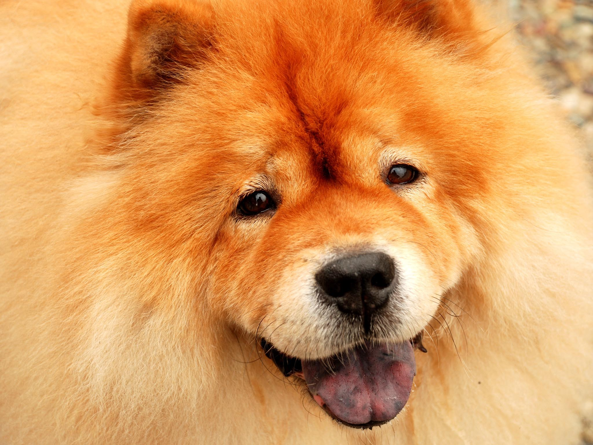 computer wallpapers for chow chow