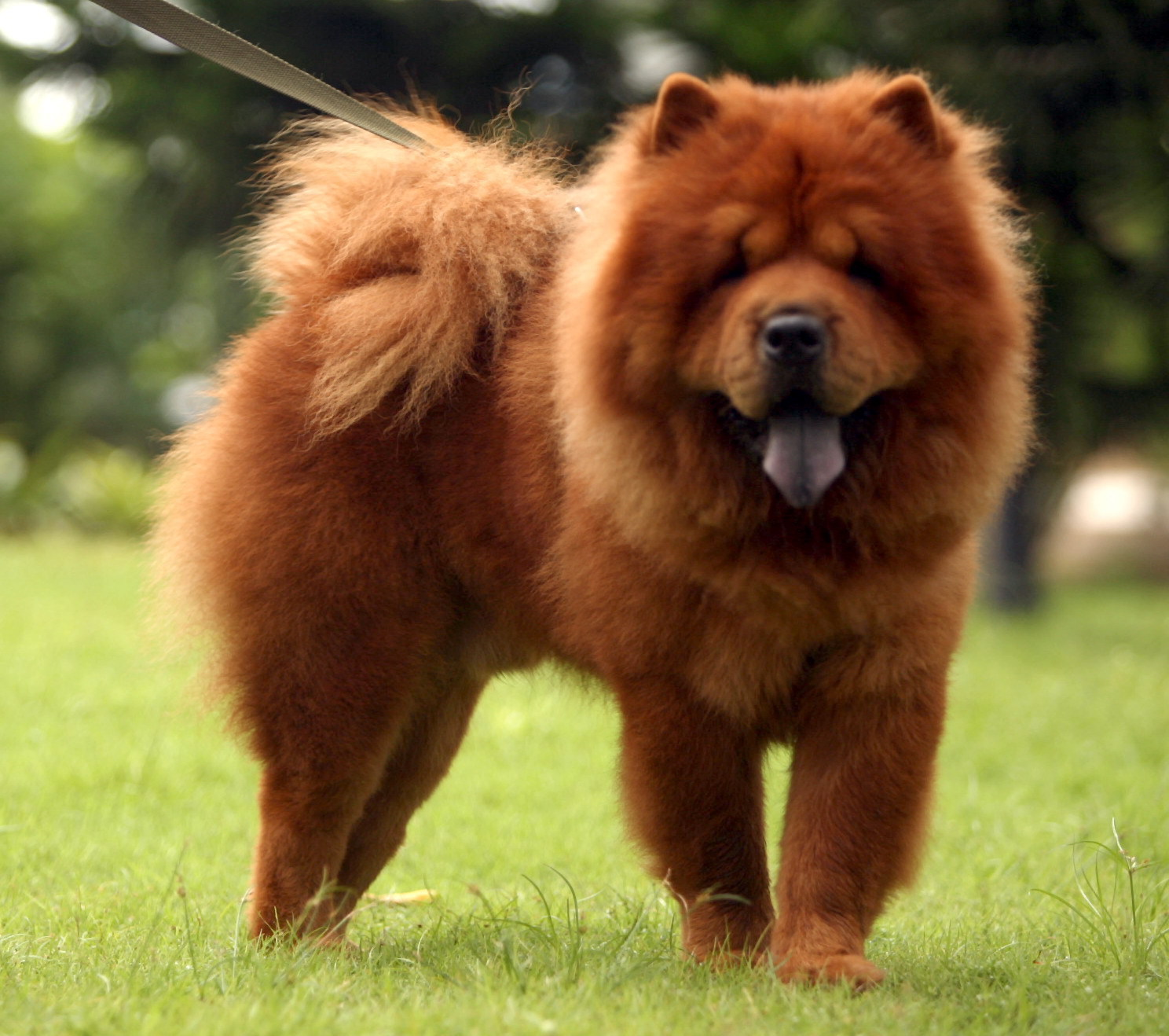 Chow Chow Dog Wallpapers