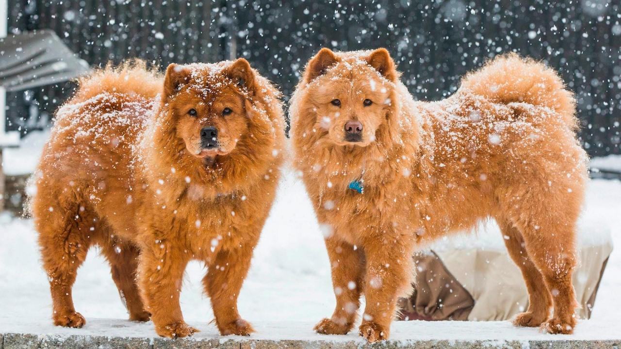 Chow Chow Wallpapers 6