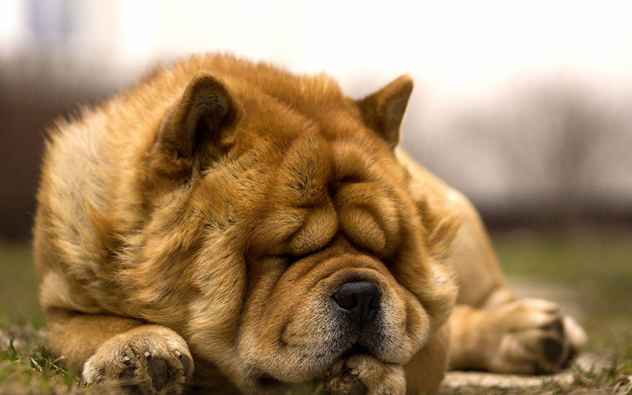 Photos Chow Chow Dogs Sleep Ginger color Animals