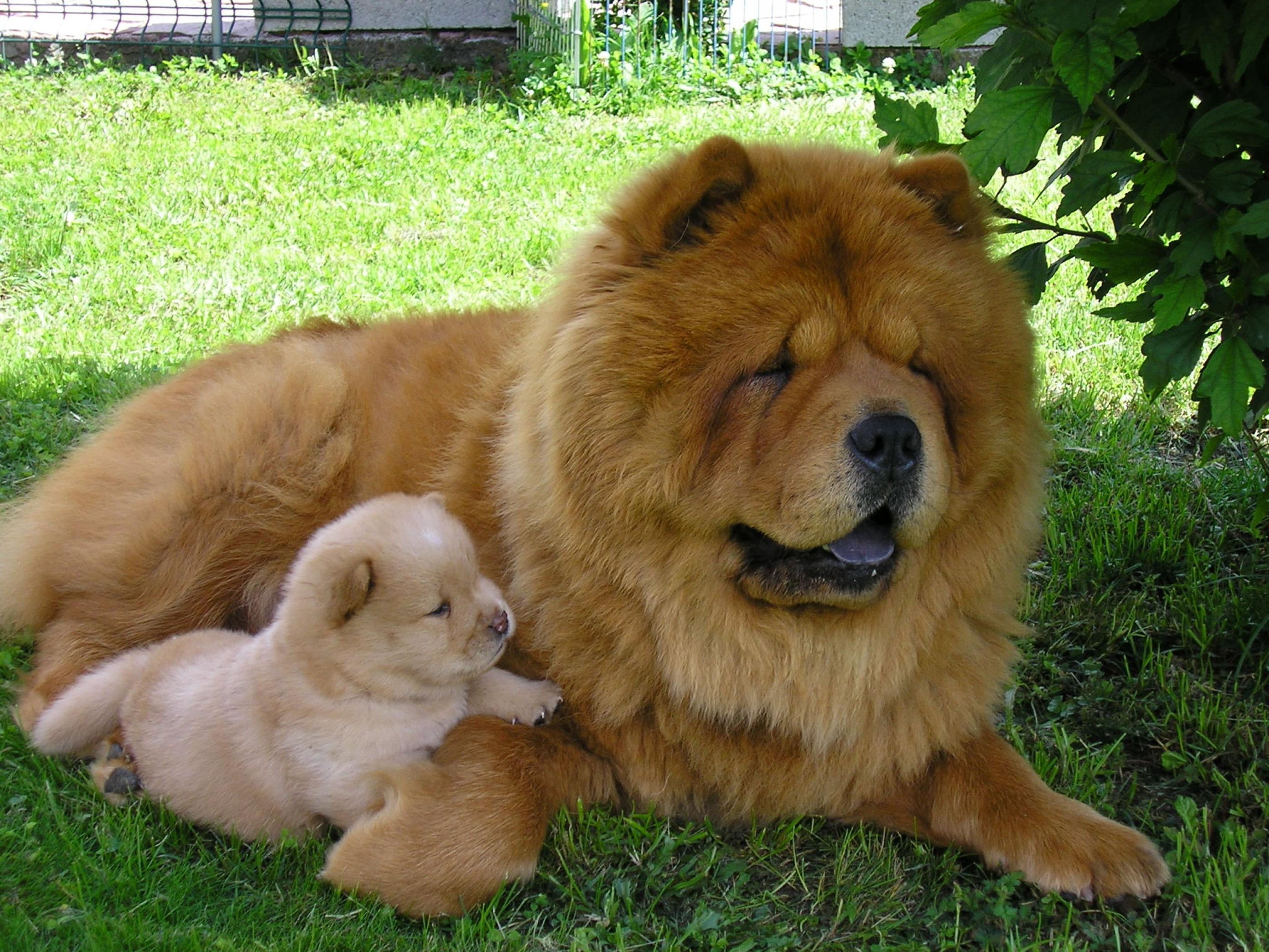 Chow Chow Wallpapers High Resolution