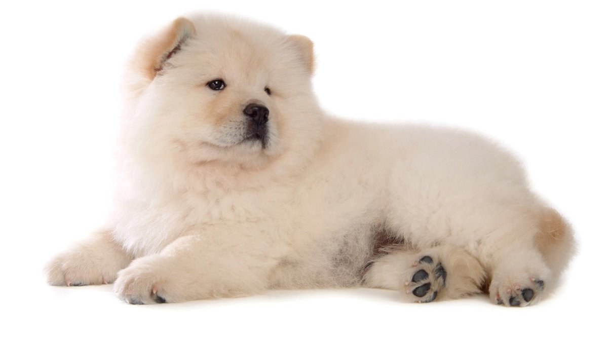 Awesome Chow Chow wallpapers for iPhone, iPad