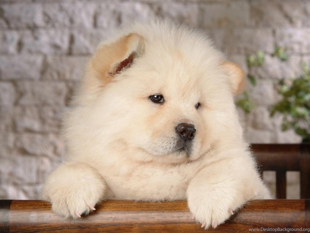 Chow Chow Android Wallpapers Desktop Backgrounds