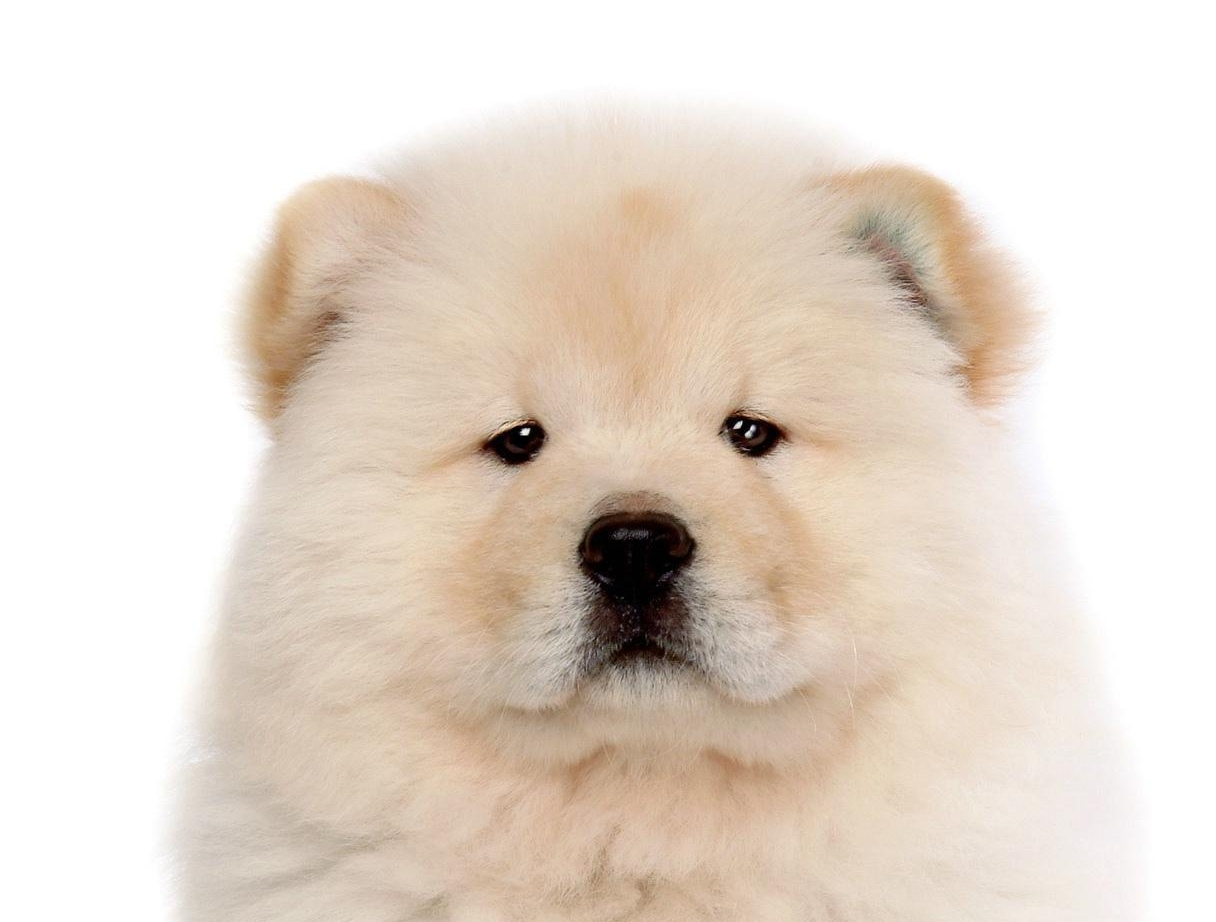 Download Pictures of Chow Chow on Animal Picture Society