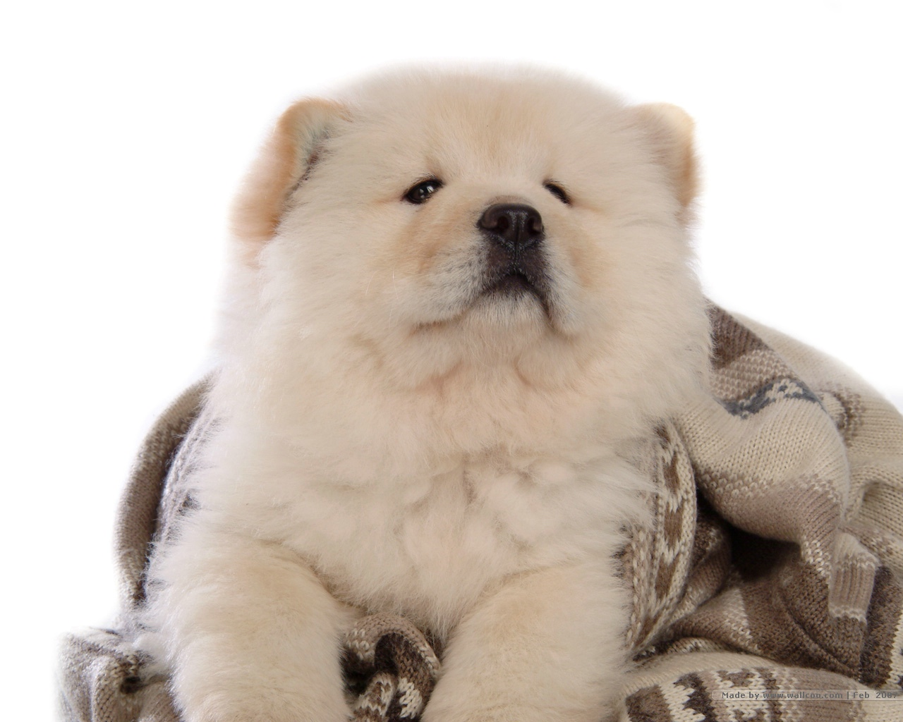 Chow Chow Wallpapers 4K