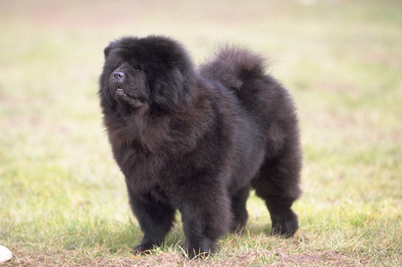 Chow Chow Wallpapers HD Download
