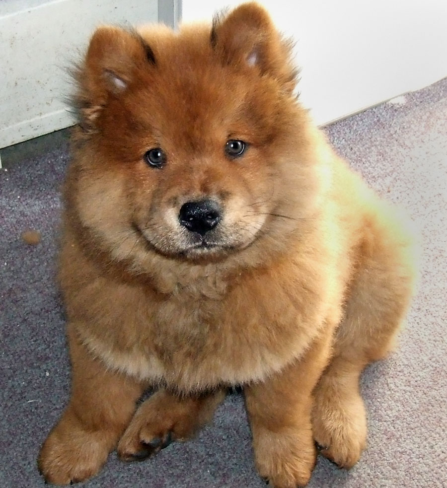 Wallpapers for Chow Chow › Resolution 900x983px