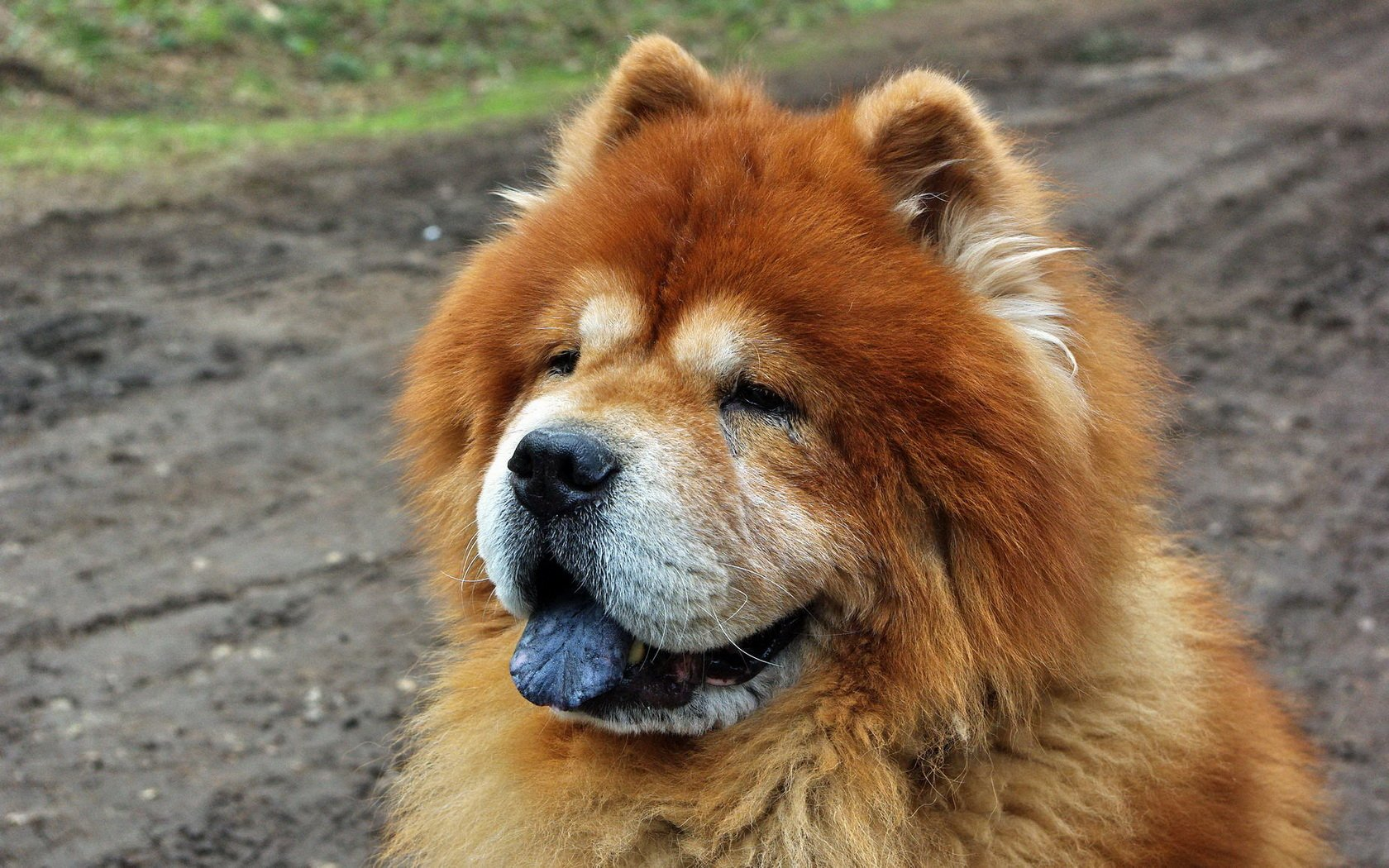 Chow Chow Wallpapers and Backgrounds Image