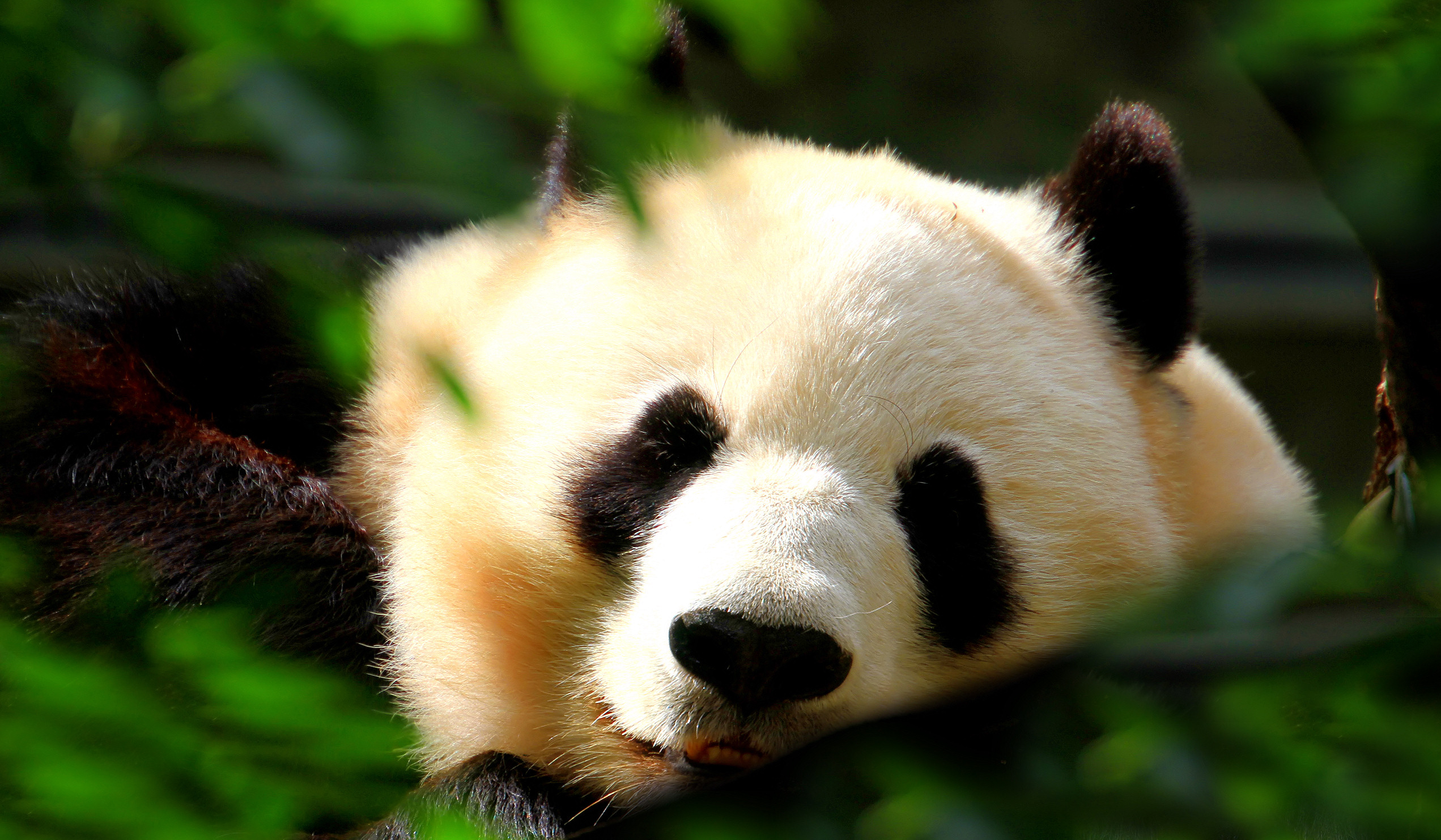 Giant Panda Wallpapers, Pictures, Image